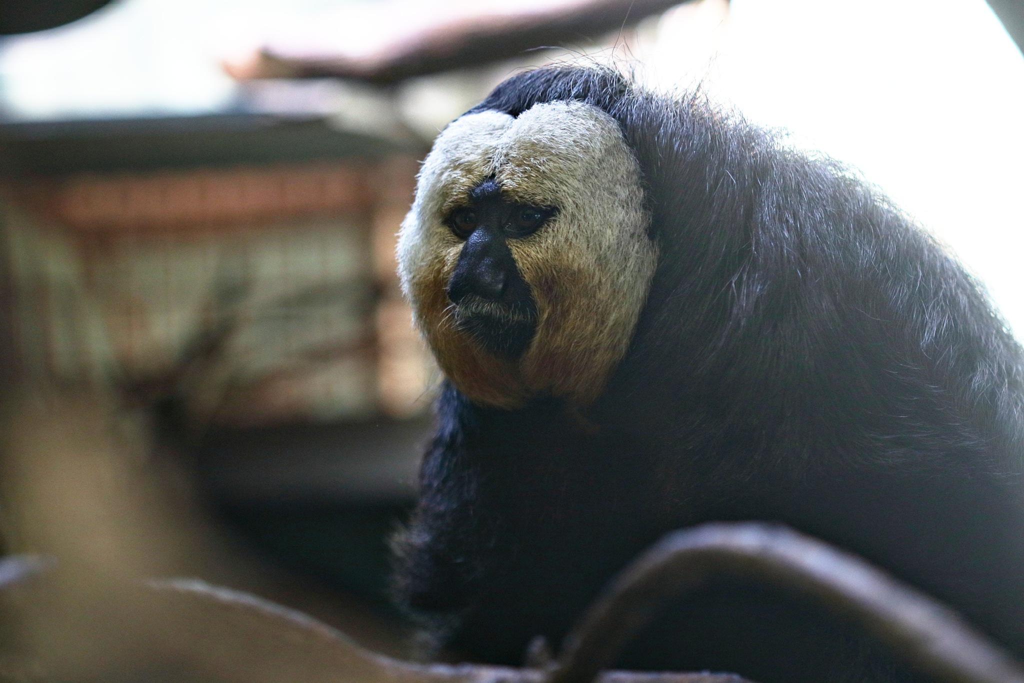 white faced saki monkey by Rich66