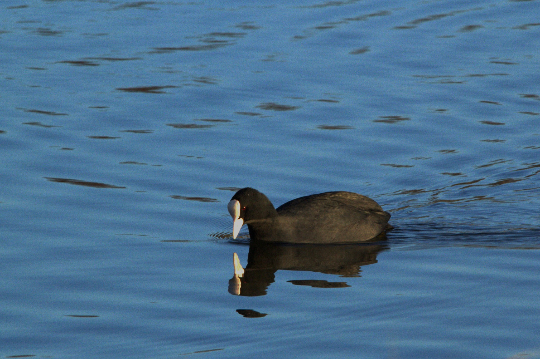 Coot by Rich66