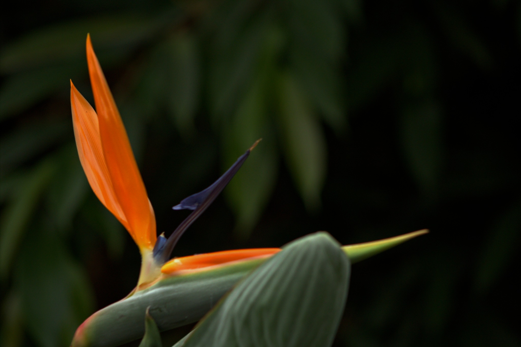 Bird of Paradise by Rich66