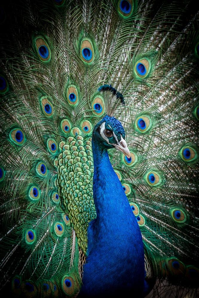 Peacock by Nicole Baumgartner