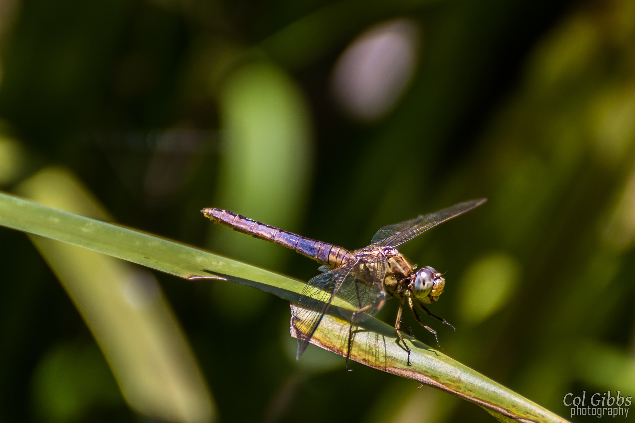 Dragonfly by Col Gibbs Photography