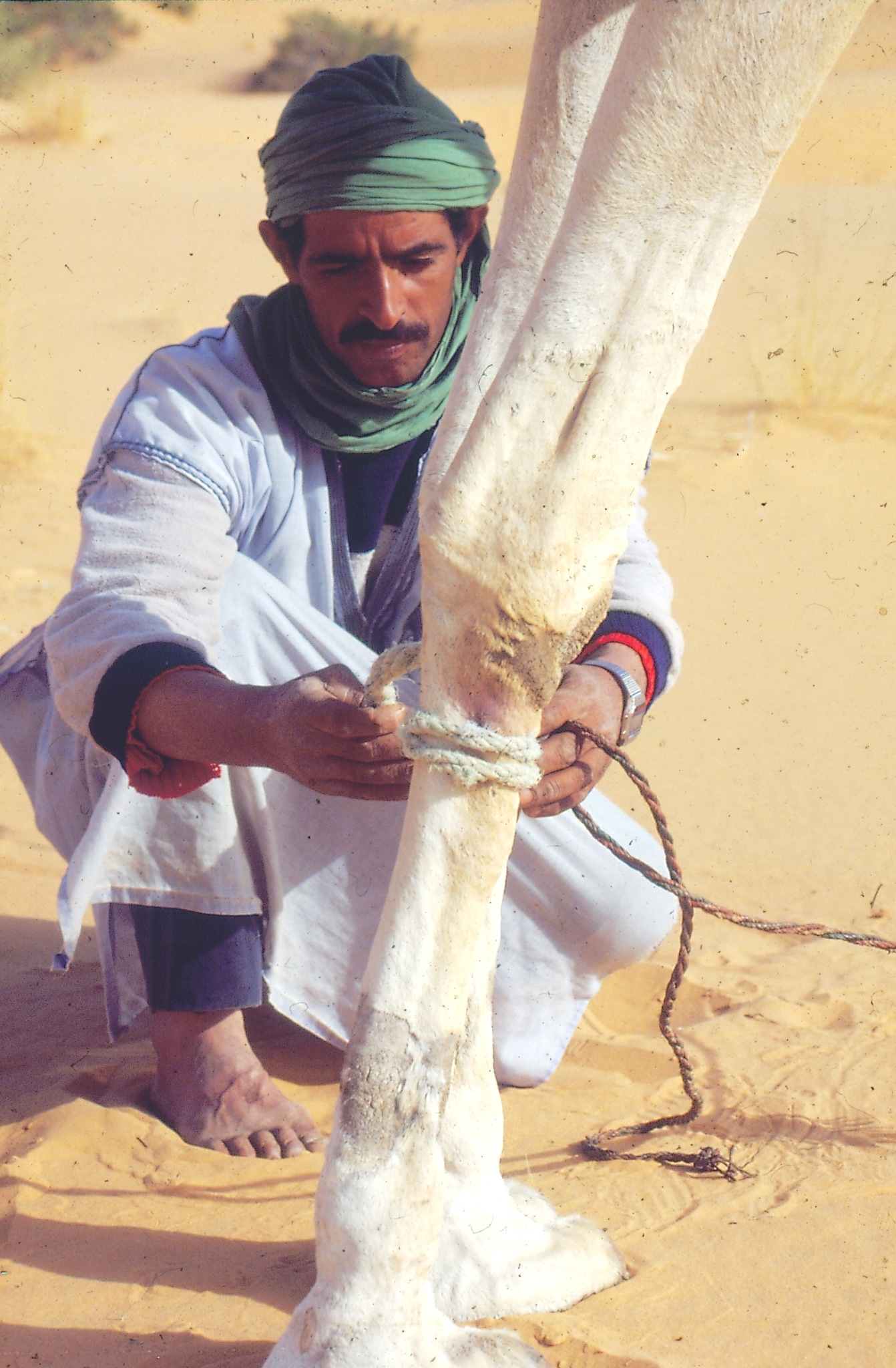 Nomade aux soins  de son dromadaire_Taghit-Algérie by benkoua