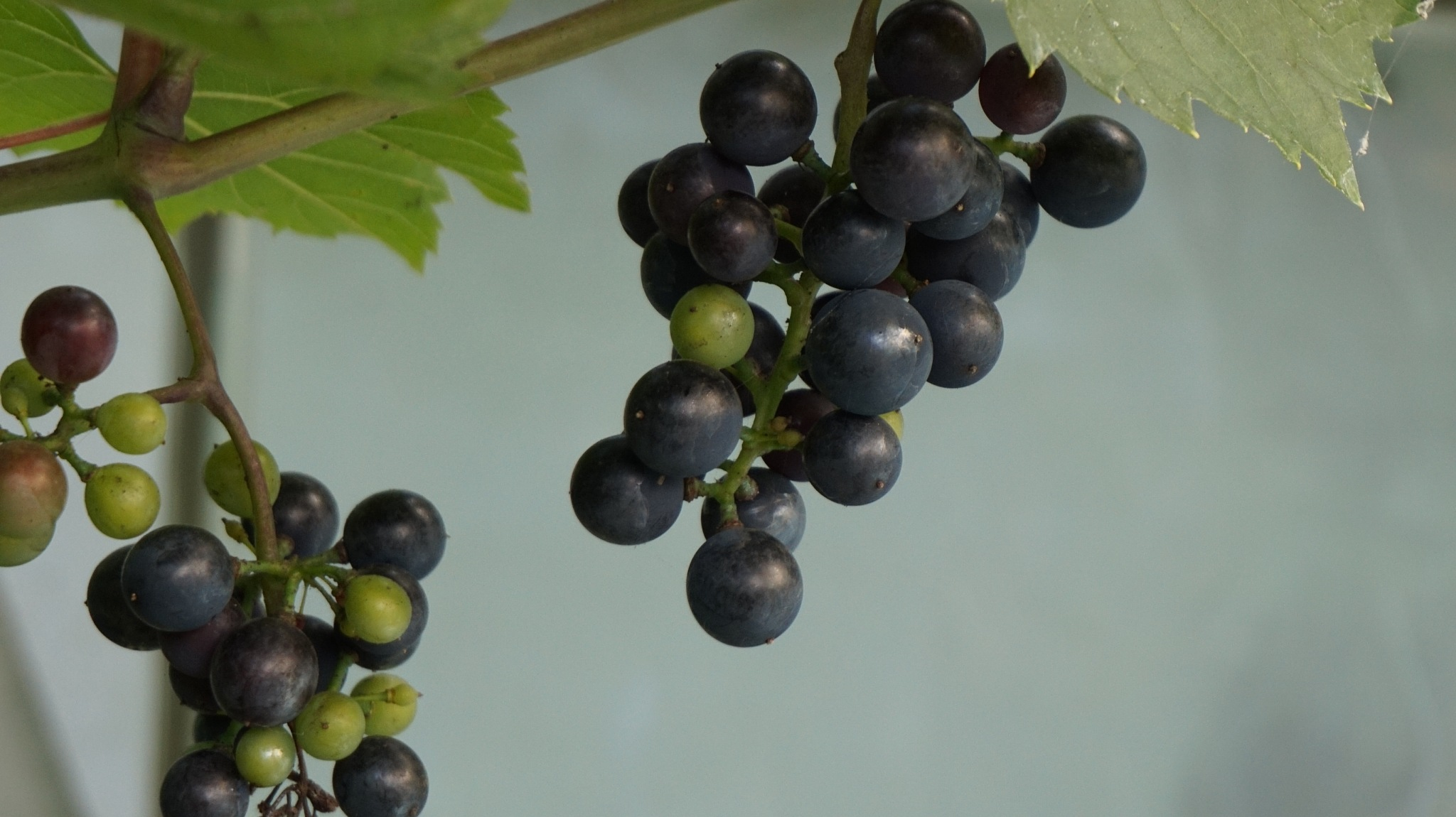 The grapes  by Knobbler58