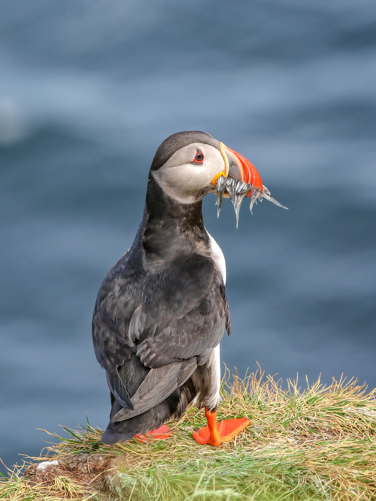Just one more puffin shot ! by Photopuppy