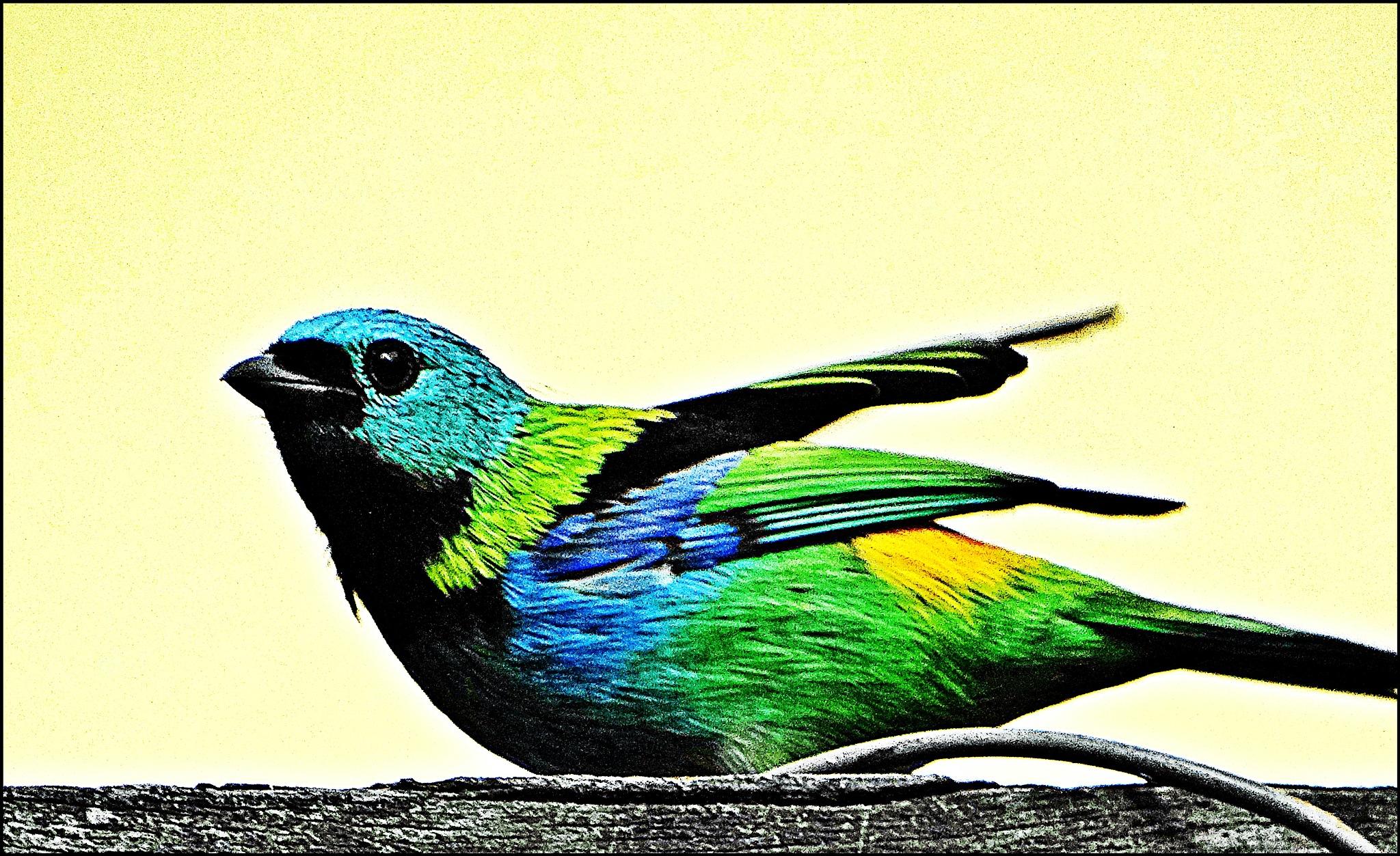 Saíra-sete-cores  by Emerson Mazza