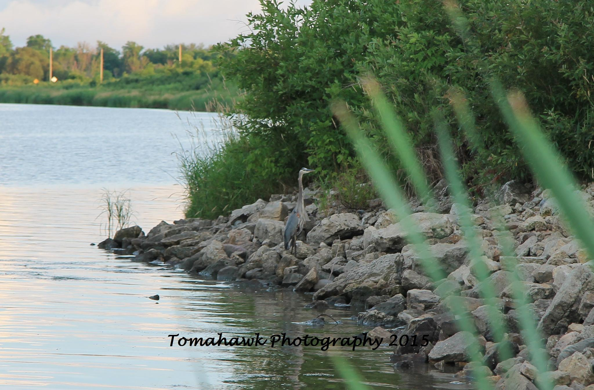 Great Blue Herron by Thomas Mah