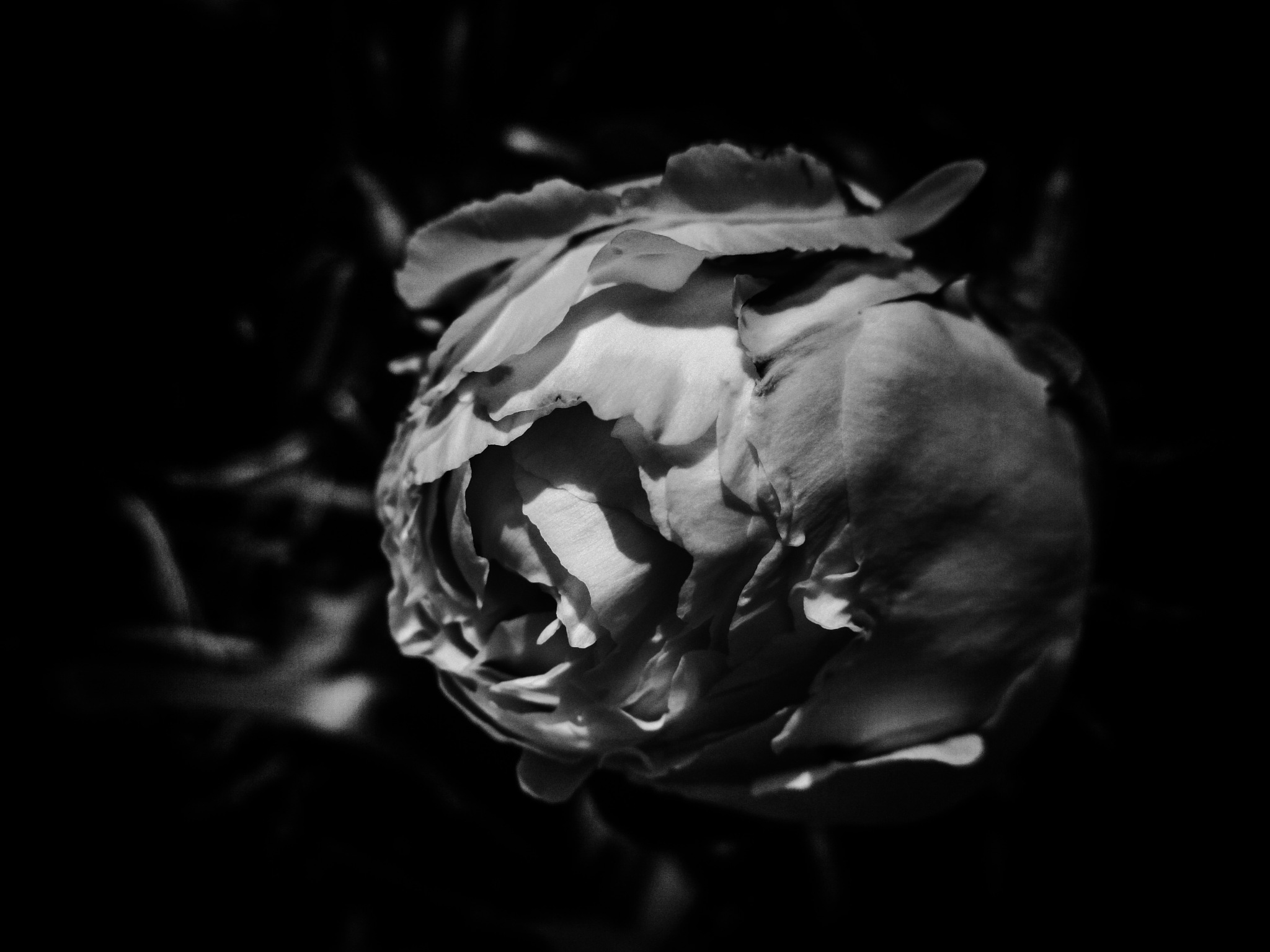 Peony in black and white by Kristen Fisher