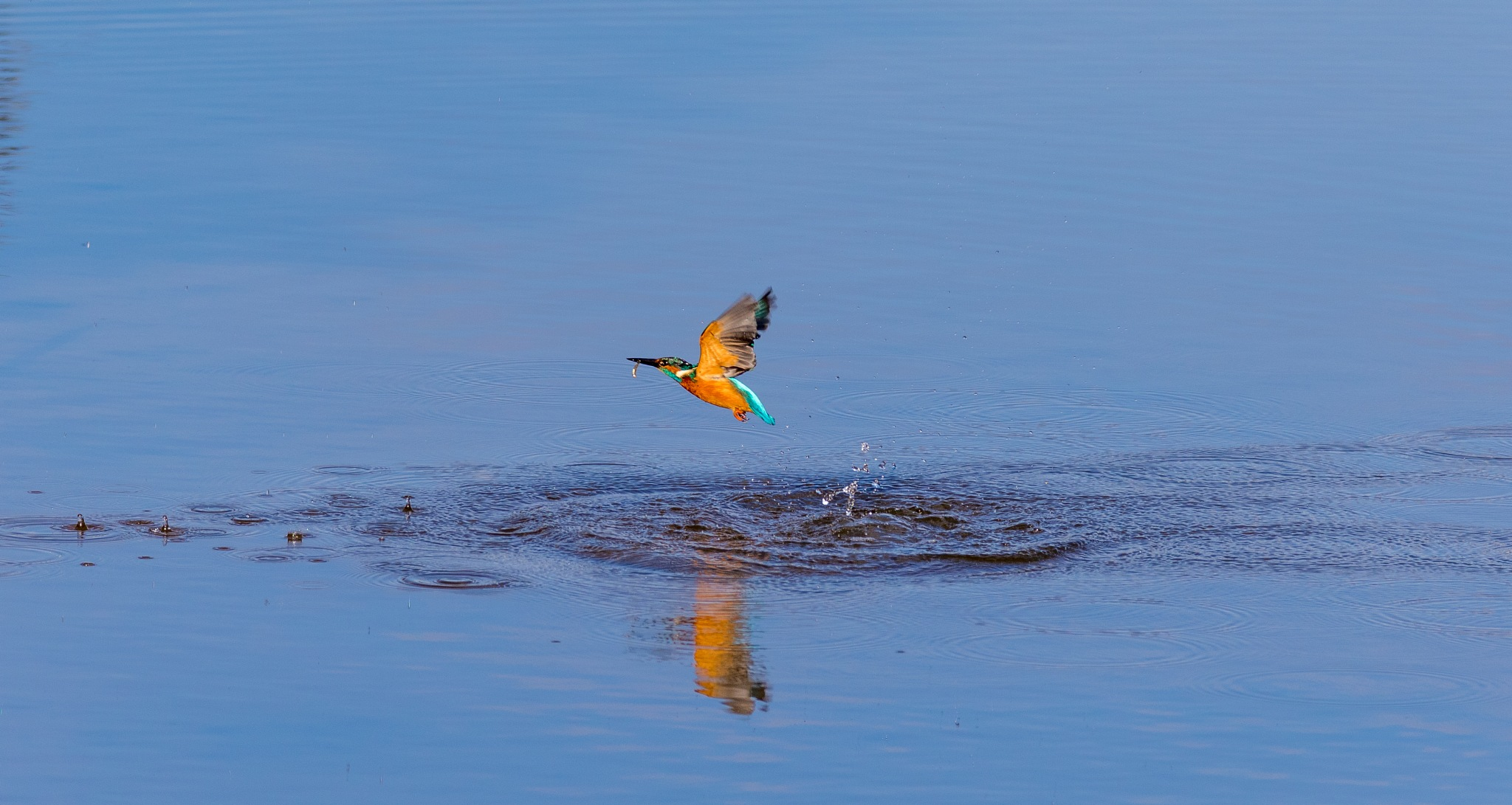 Kingfisher in flight by Tony Simcock Eadie