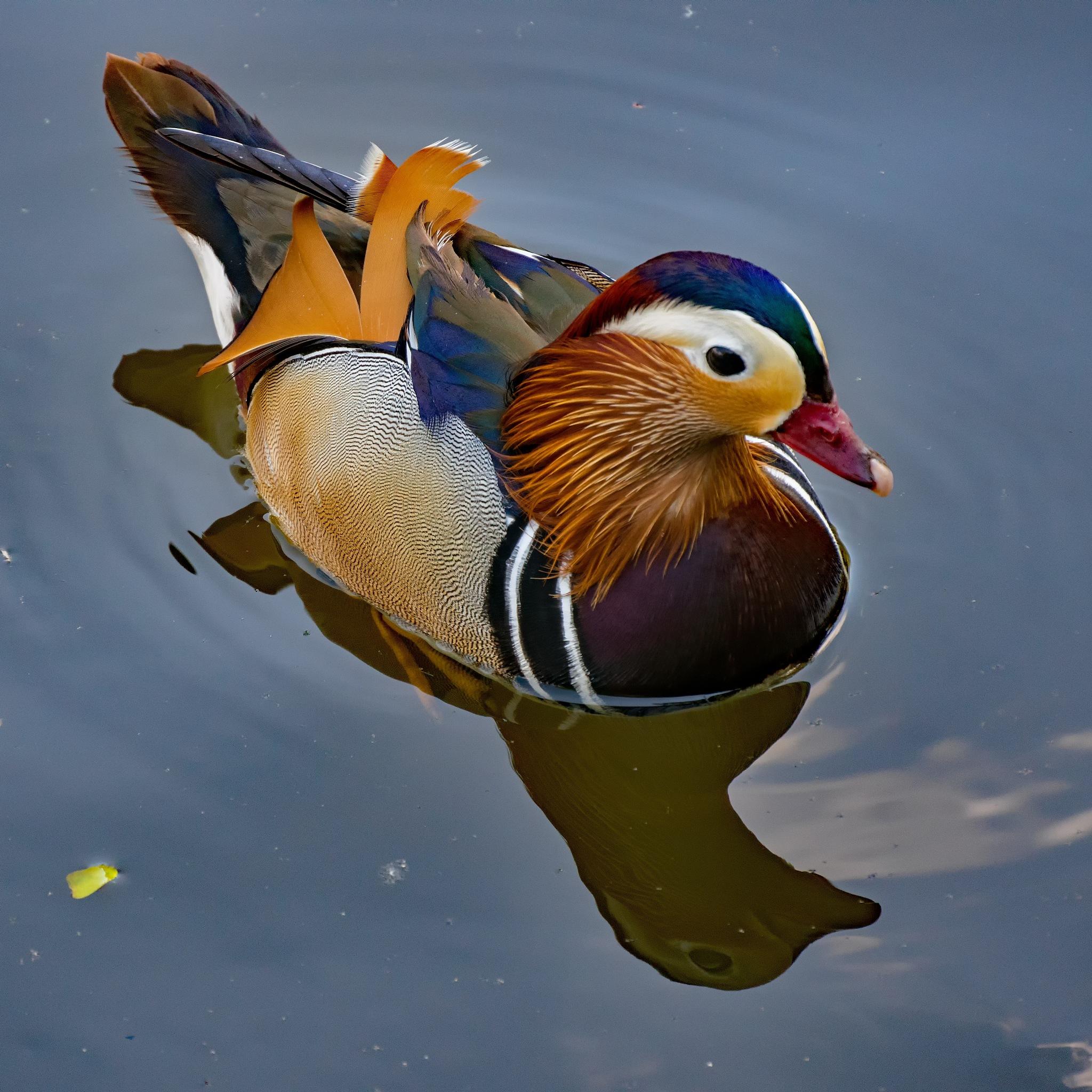 Mandarin duck (male) by HaWaFoTo