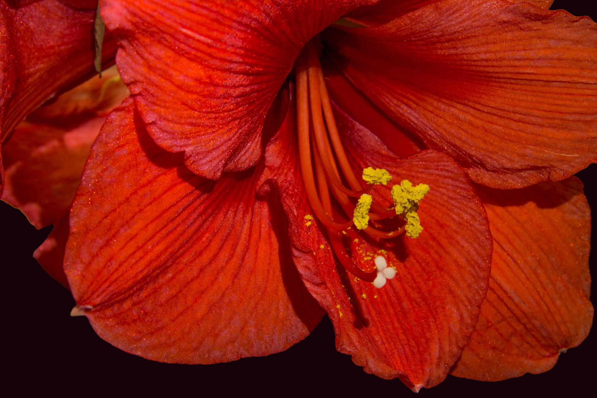 Amaryllis by HaWaFoTo