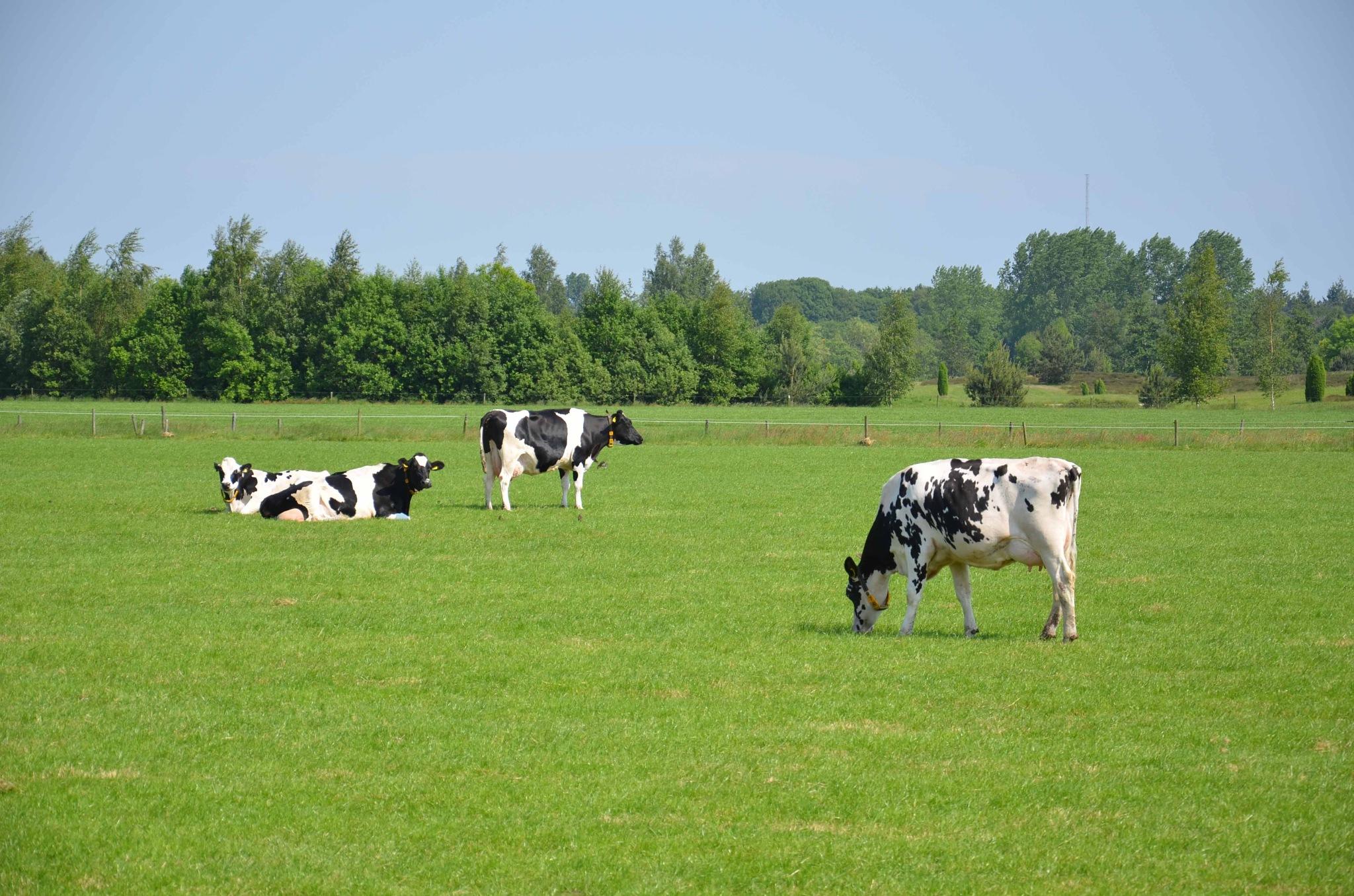 Koeien in het Brabantse landschap by HaWaFoTo