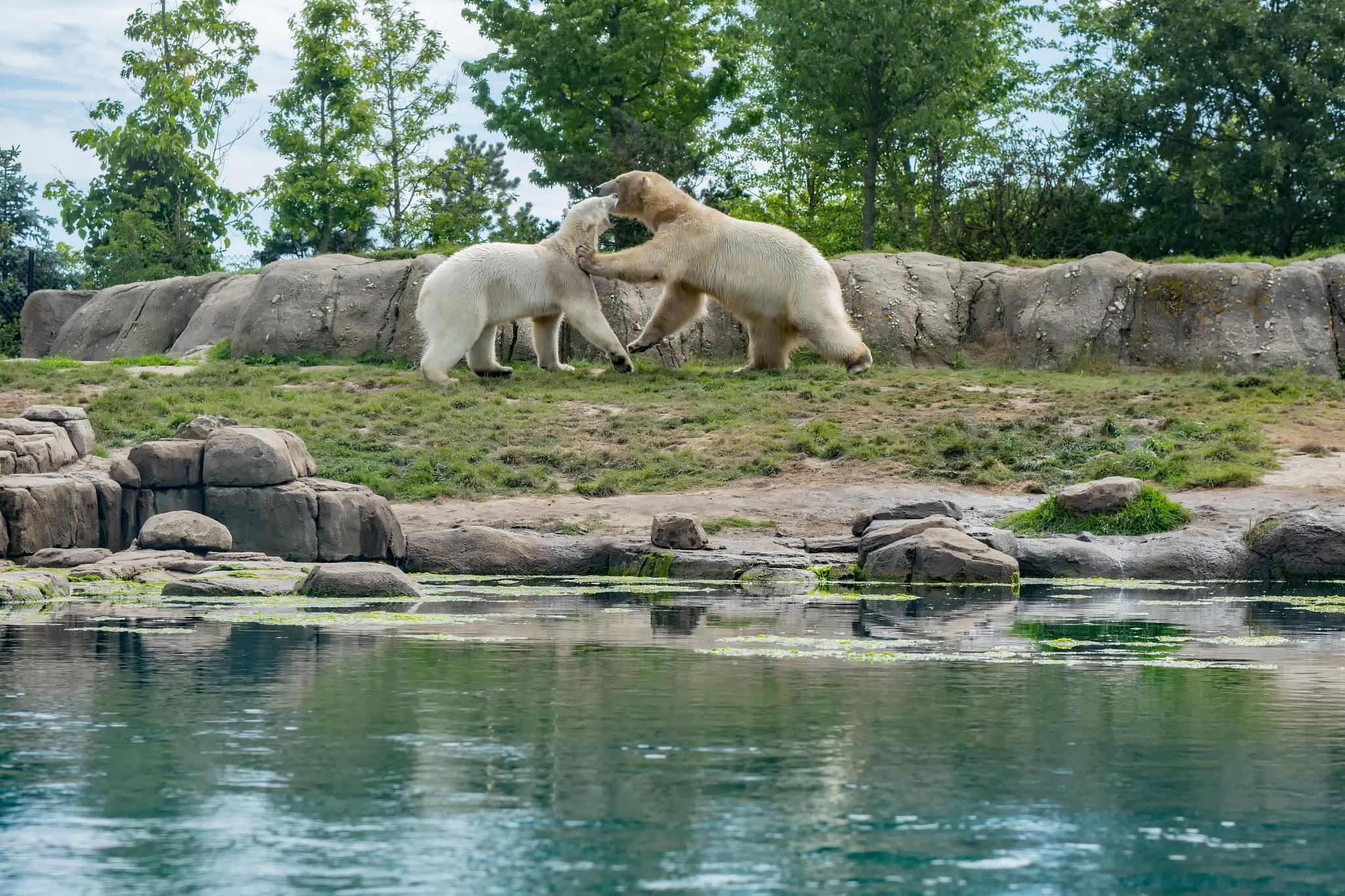 Playing polar bears by HaWaFoTo