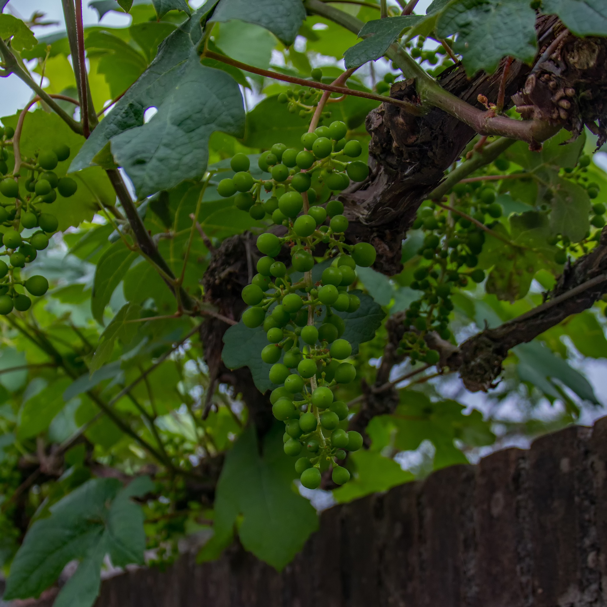 Grape bunch by HaWaFoTo