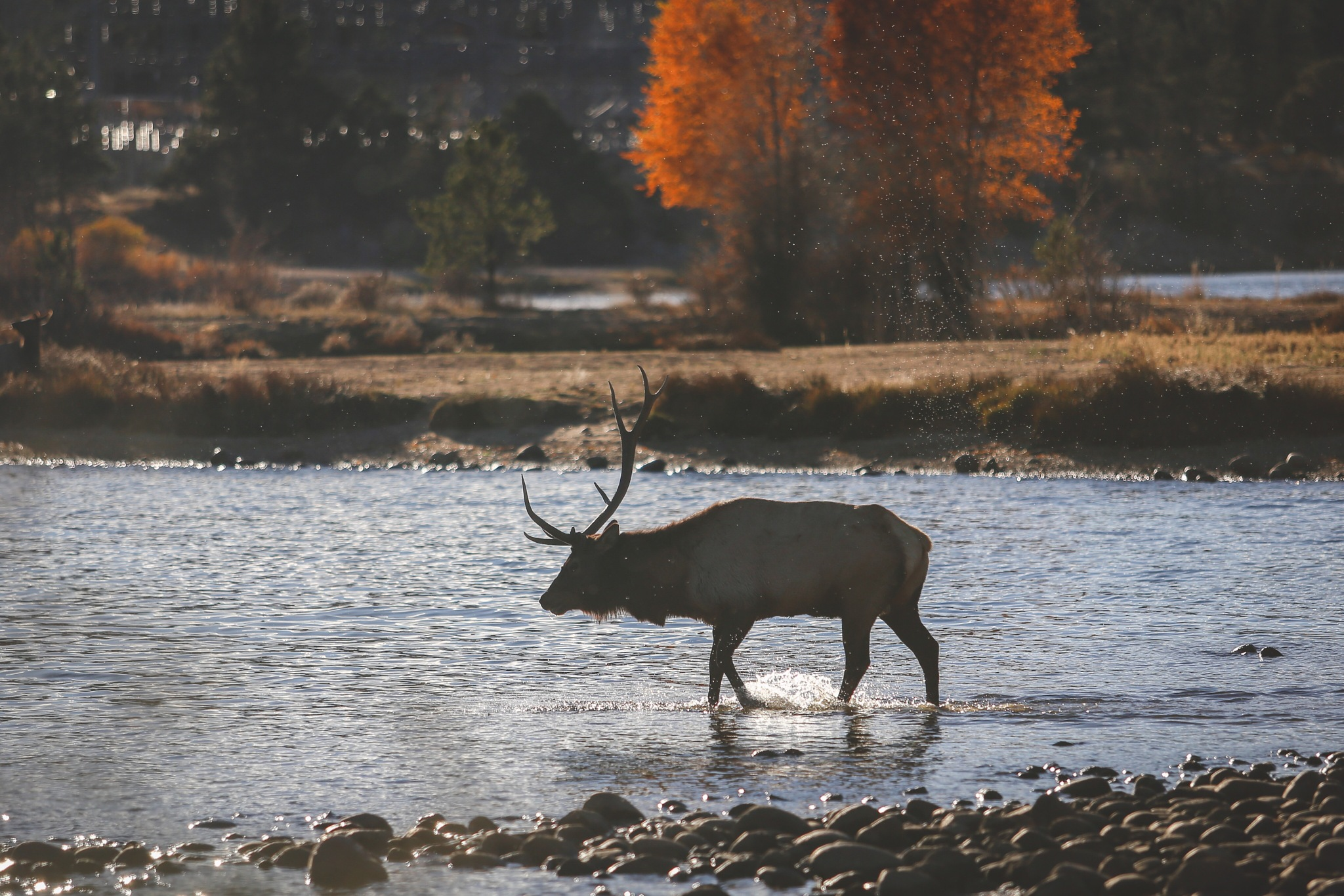 Elk in Estes by Jon Courville