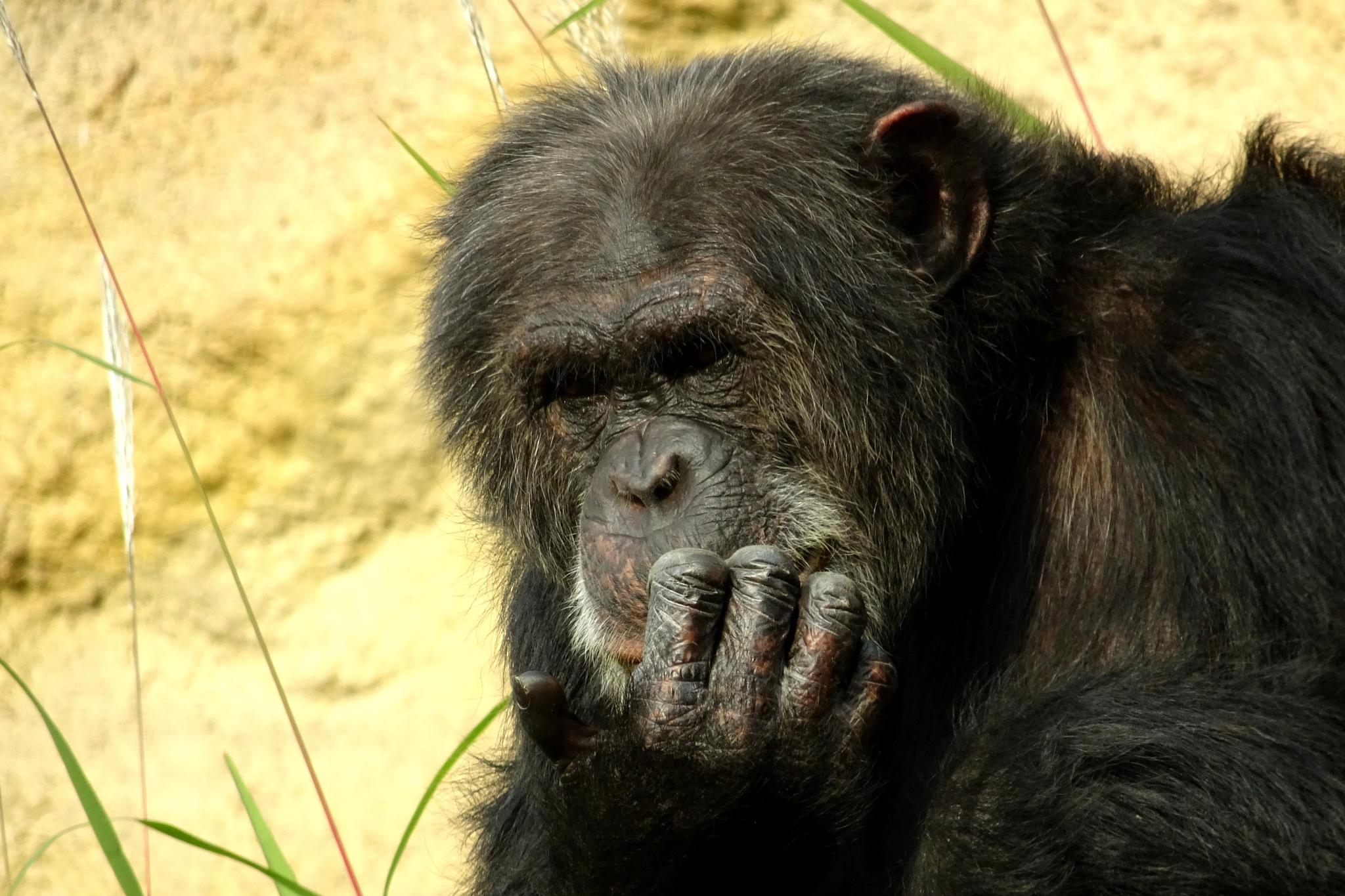 chimpanzee     by twelvephotography