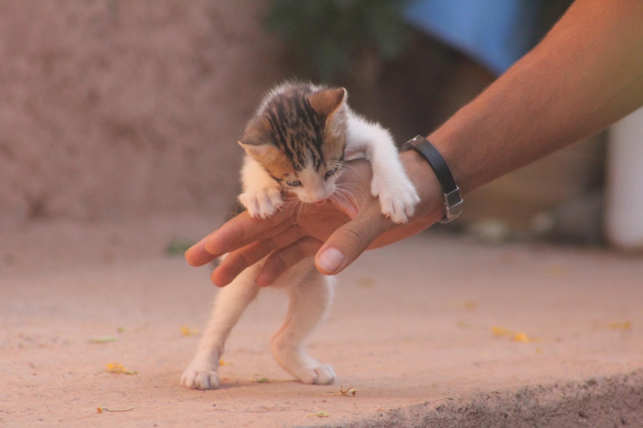 Pet cat  by Abdessamad Hamzaoui