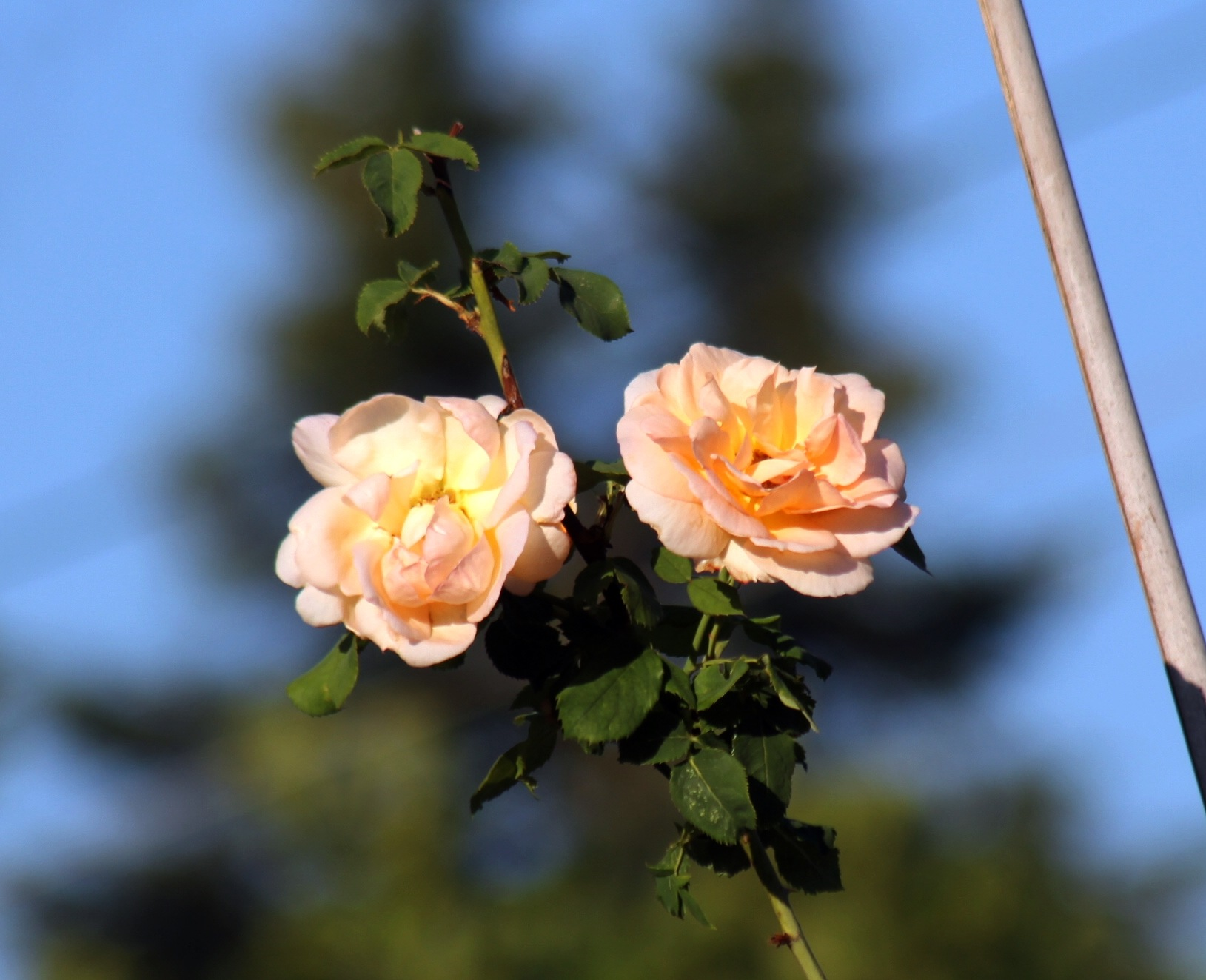 Apricot Brandy Rose. by Henry Wall