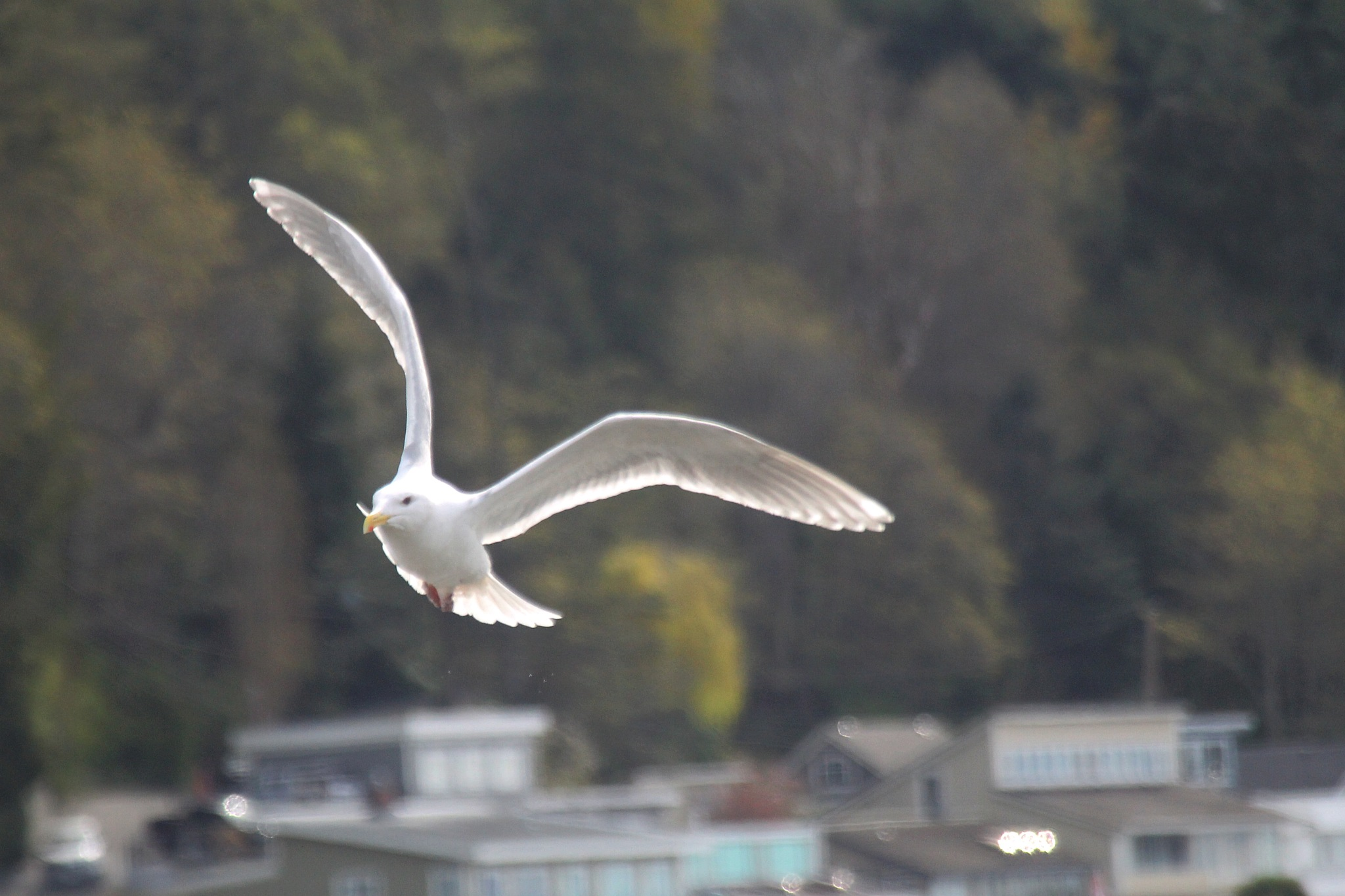 Glaucus Gull. by Henry Wall