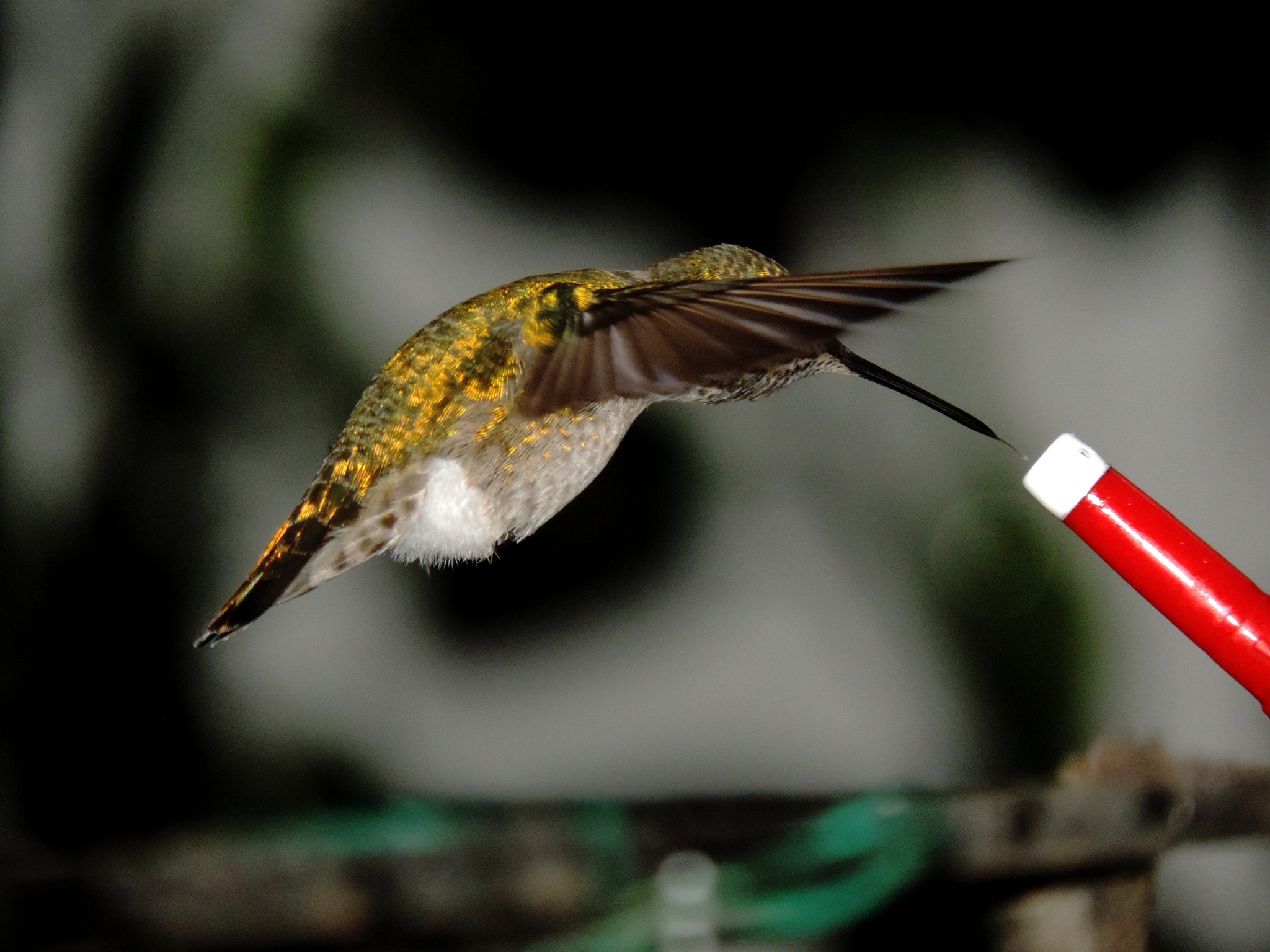 Male Anna`s Hummingbird. by Henry Wall
