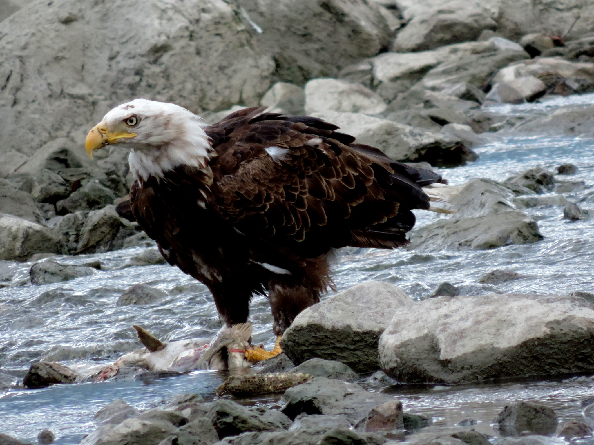 Bald Eagle . by Henry Wall