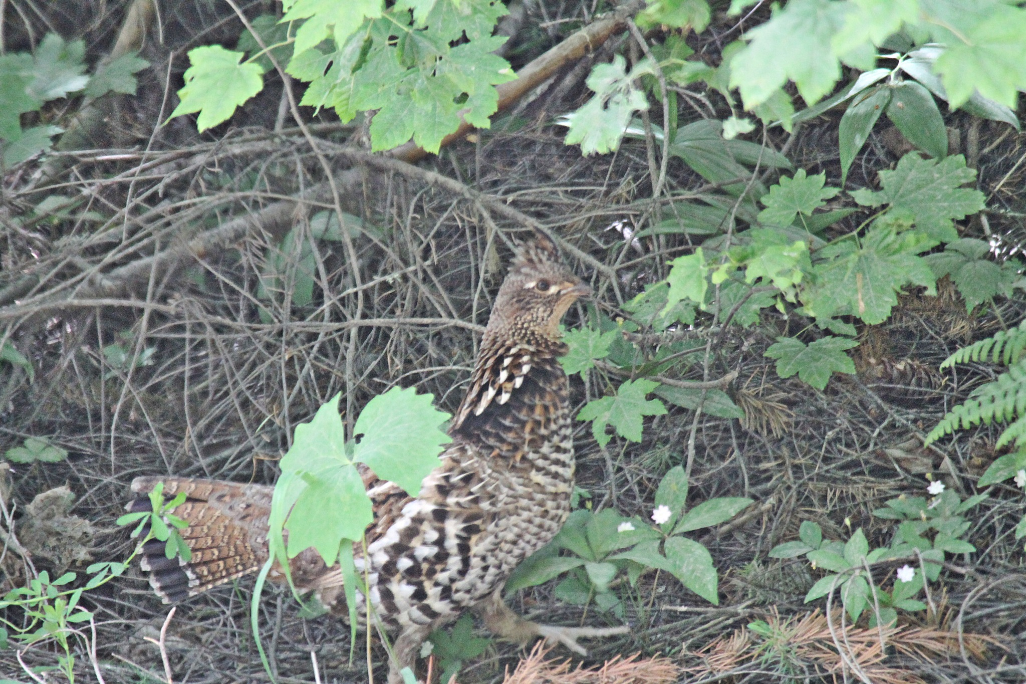 Ruffed Grouse.  by Henry Wall