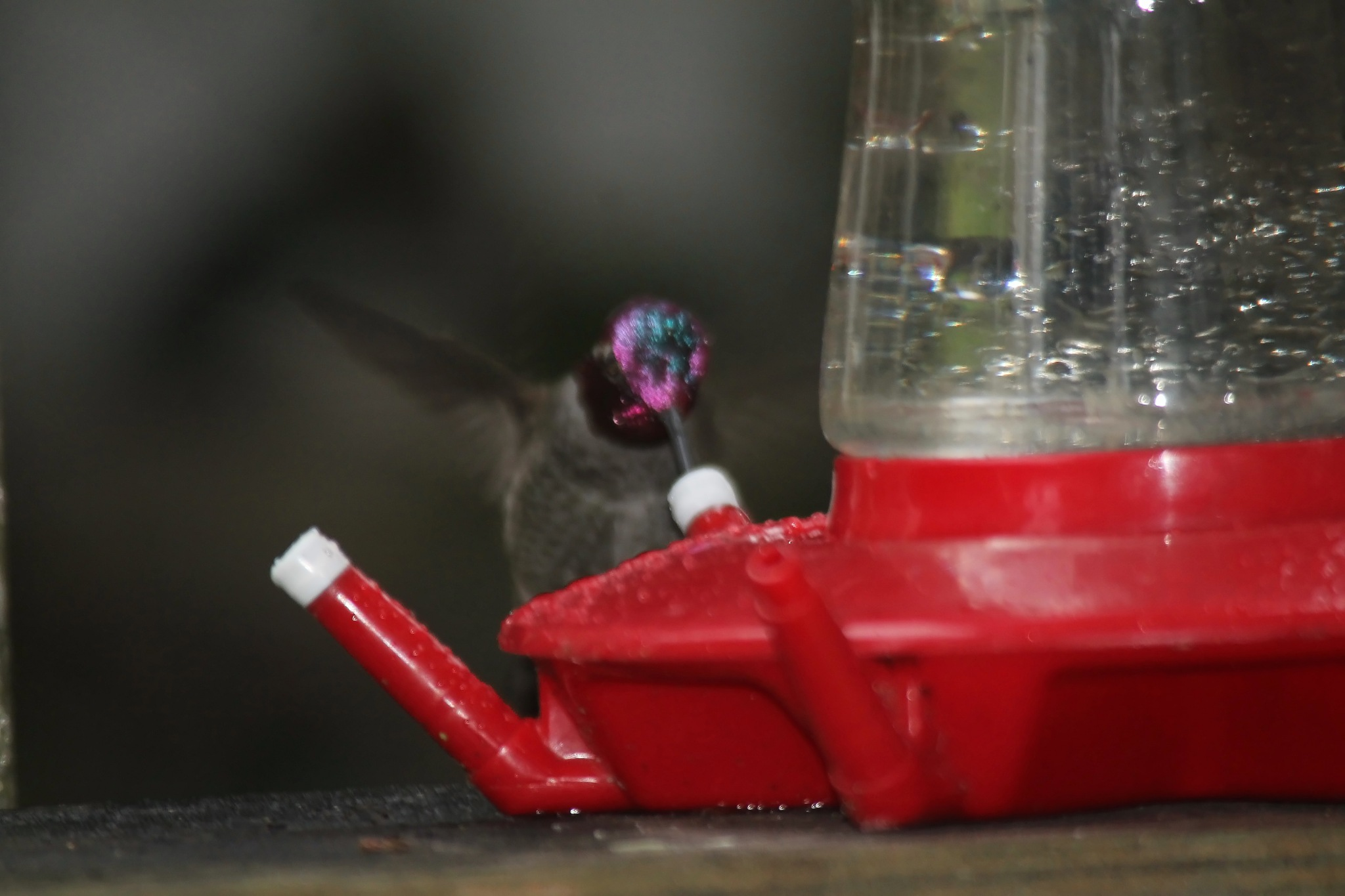 Anna`s Hummingbird. by Henry Wall