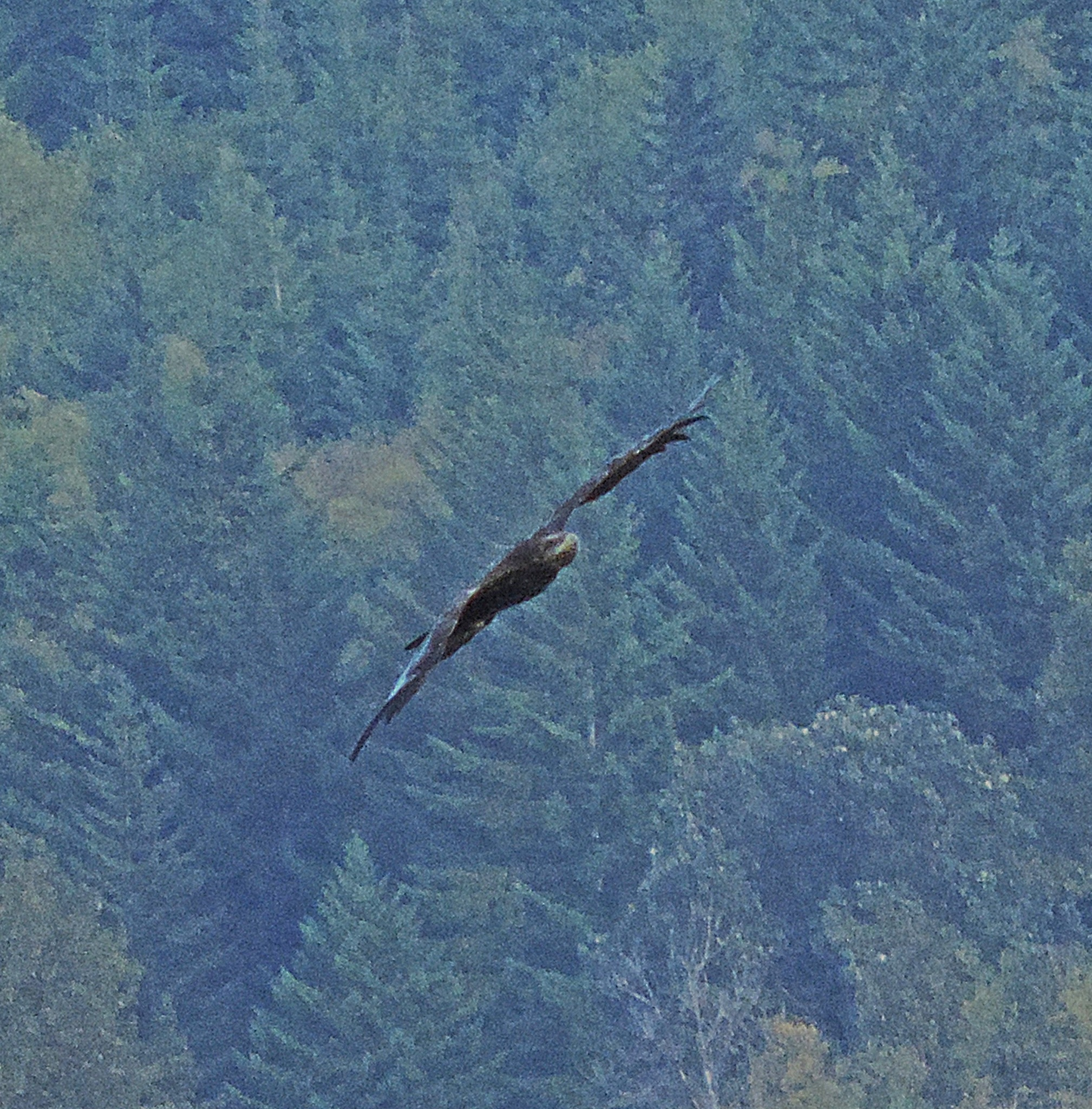 Bald Eagle. by Henry Wall