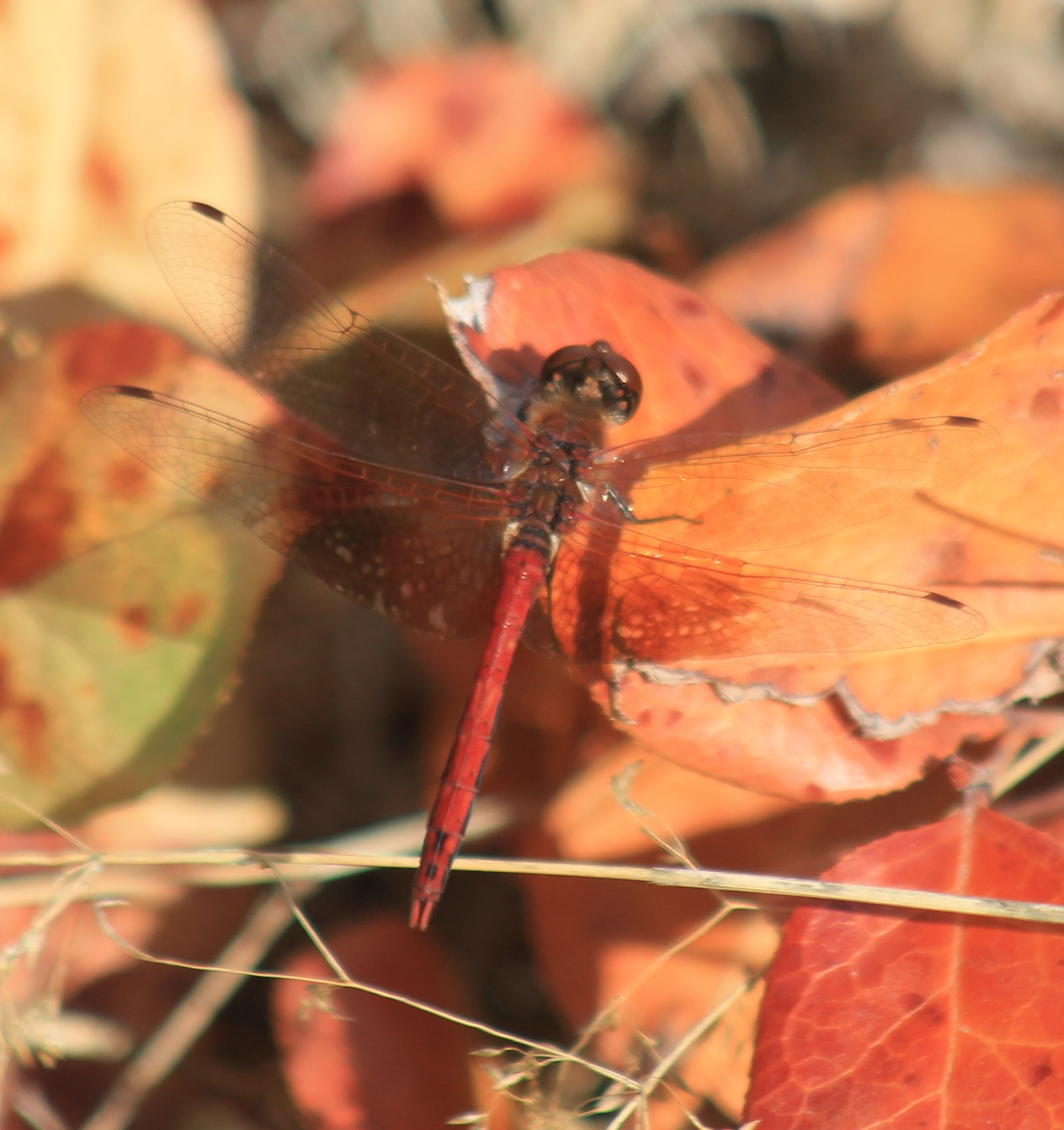 Red Dragonfly by Henry Wall