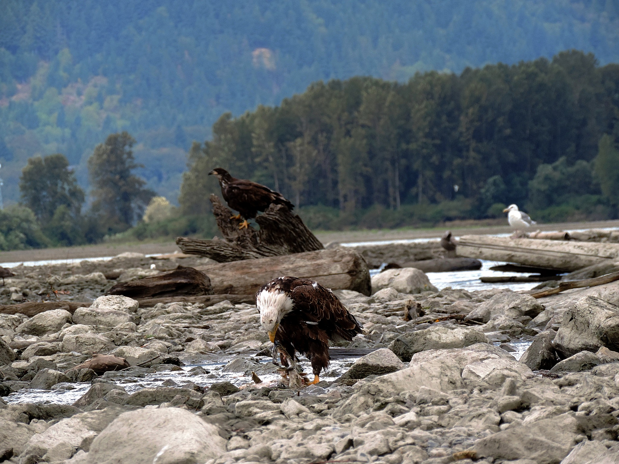 Bald Eagles. by Henry Wall