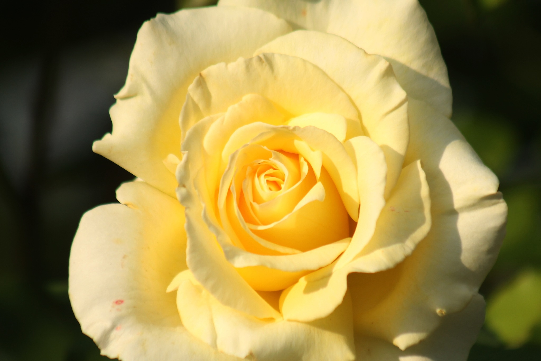 Yellow Rose. by Henry Wall