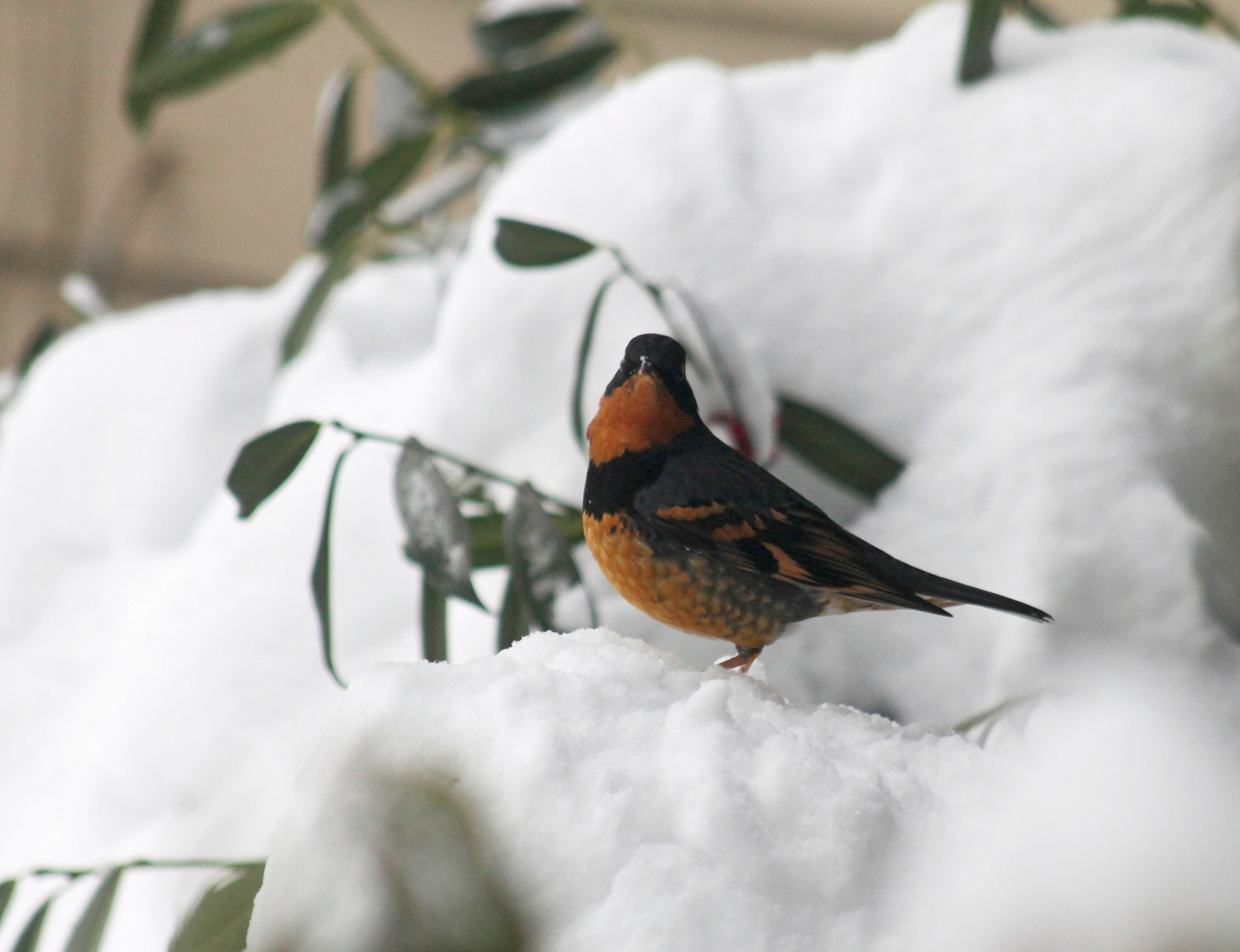 Varied Thrush. by Henry Wall