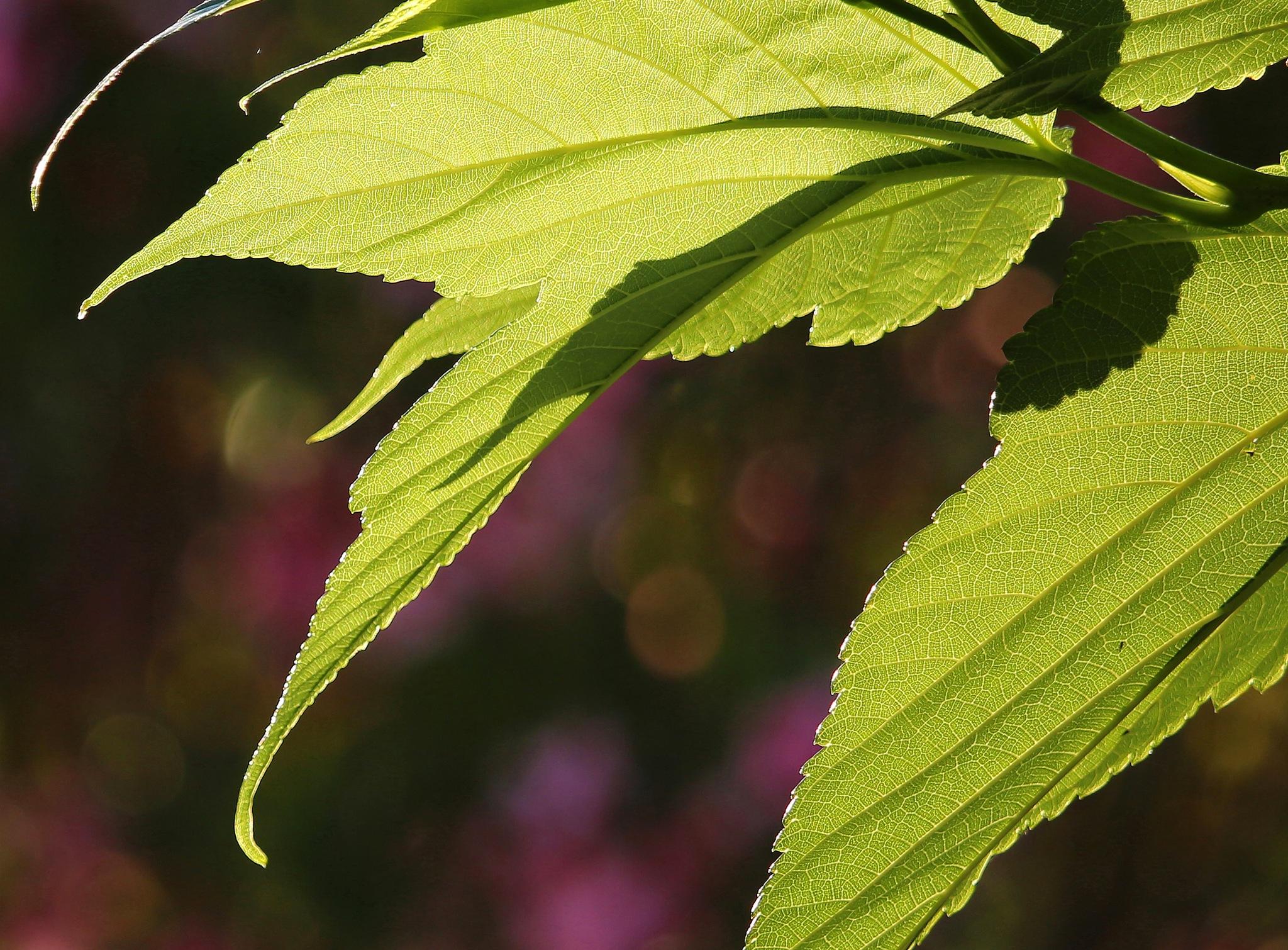 Sunrise on mulberry-plane leaf by GillesB