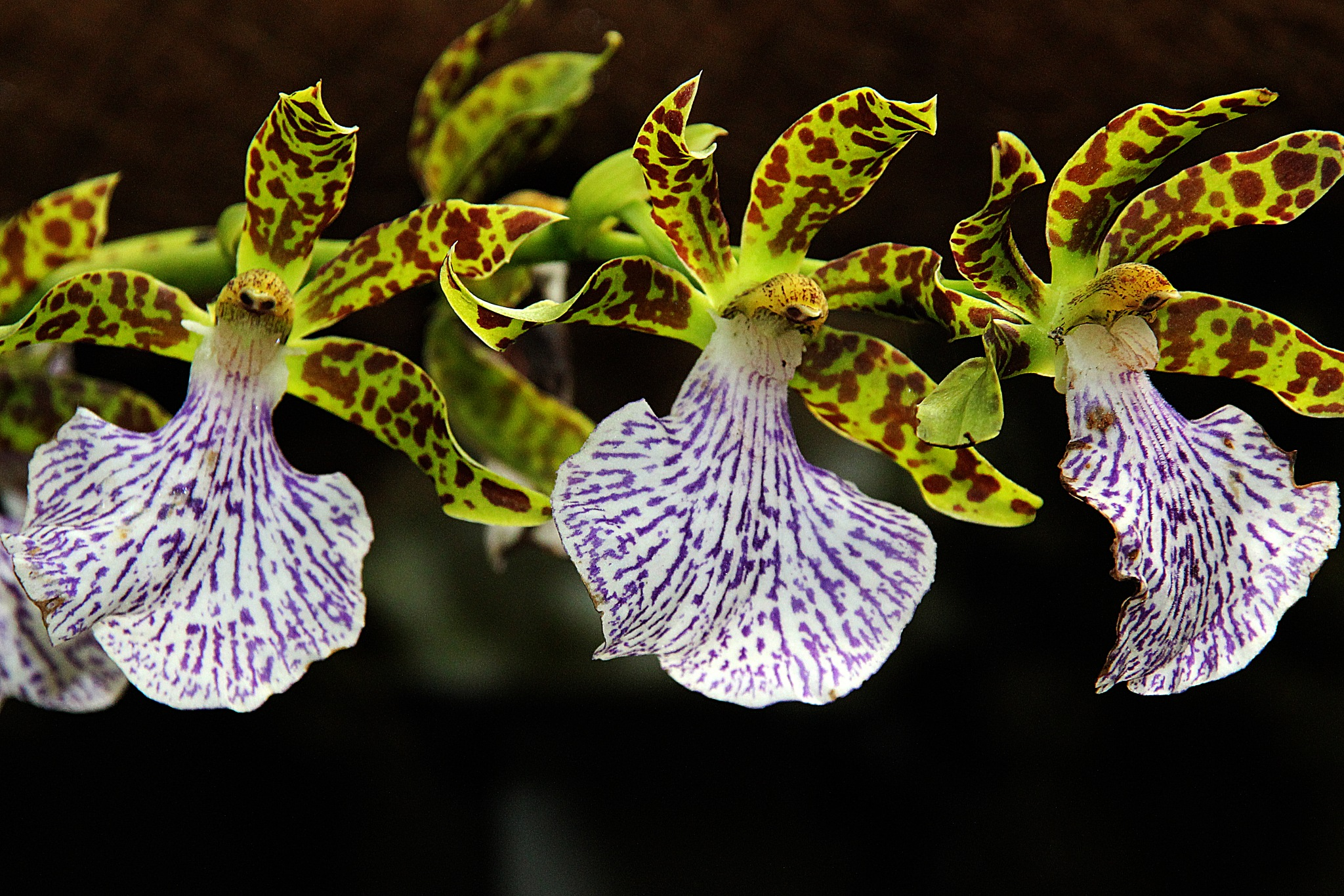 zygopetalum intermedium by mmvicent