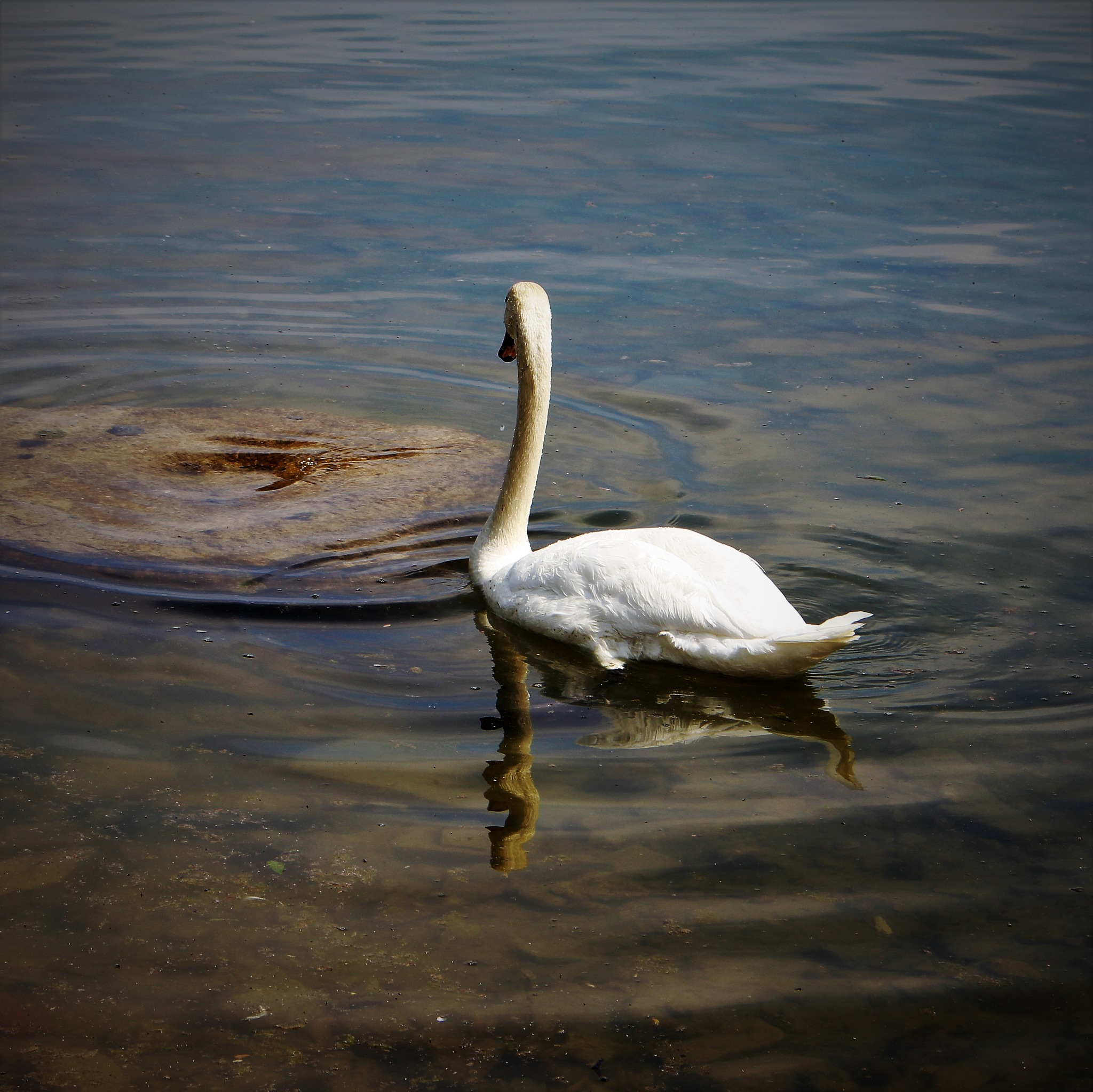 Swan in the Shallows by David Imrie