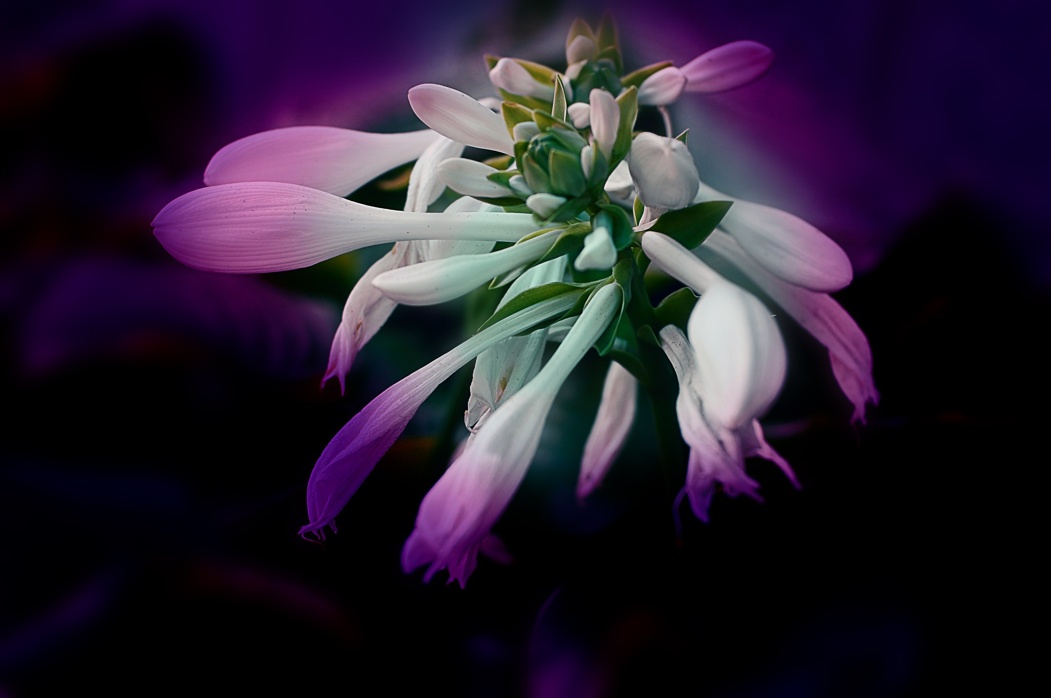 Цветение хосты by Nikolay  Mihaylenko