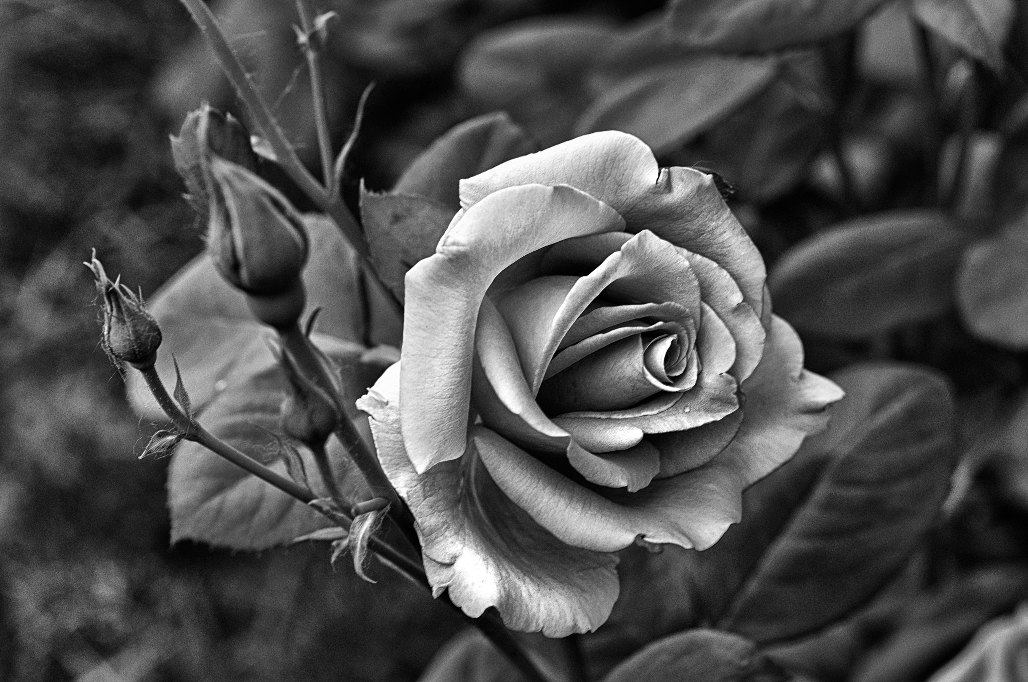 Роза by Nikolay  Mihaylenko