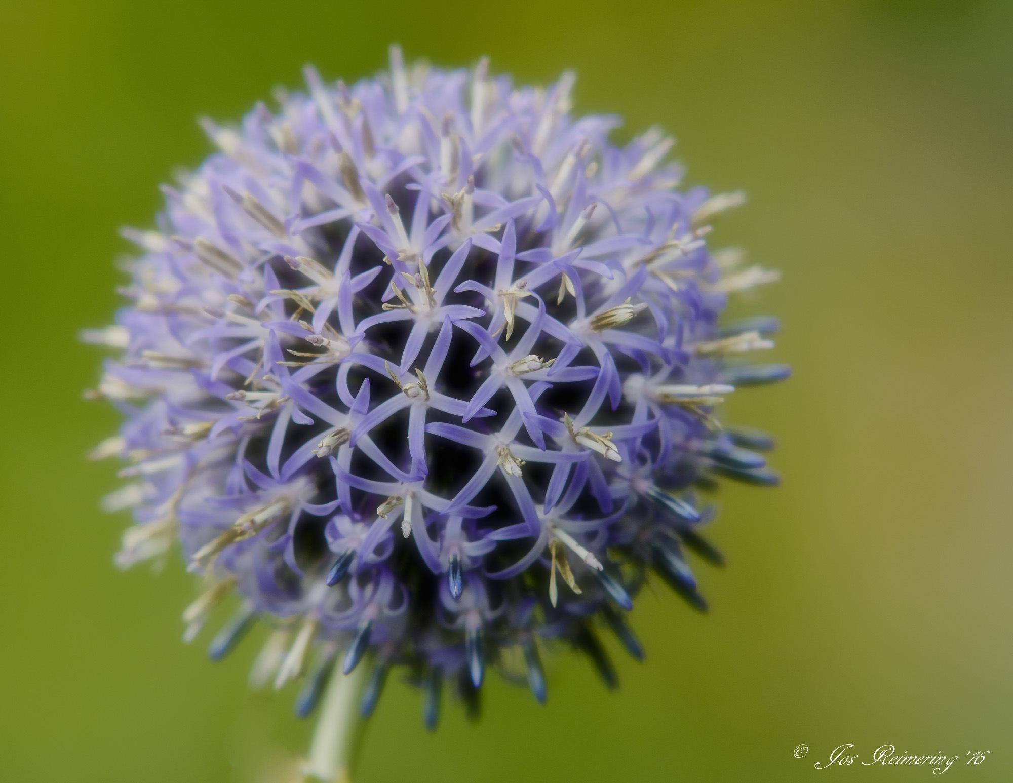 Allium by Jos Reimering
