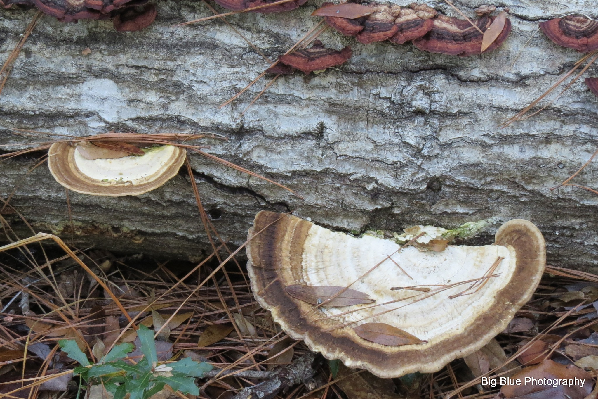 Turkey Tail Mushrooms by Sierra St Francis Photography