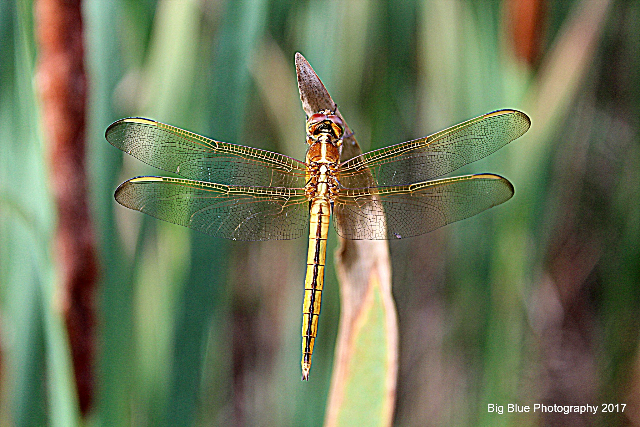 Golden Dragonfly by Sierra St Francis Photography