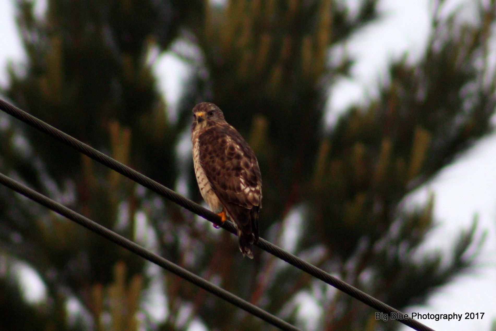 Broad Winged Hawk by Sierra St Francis Photography