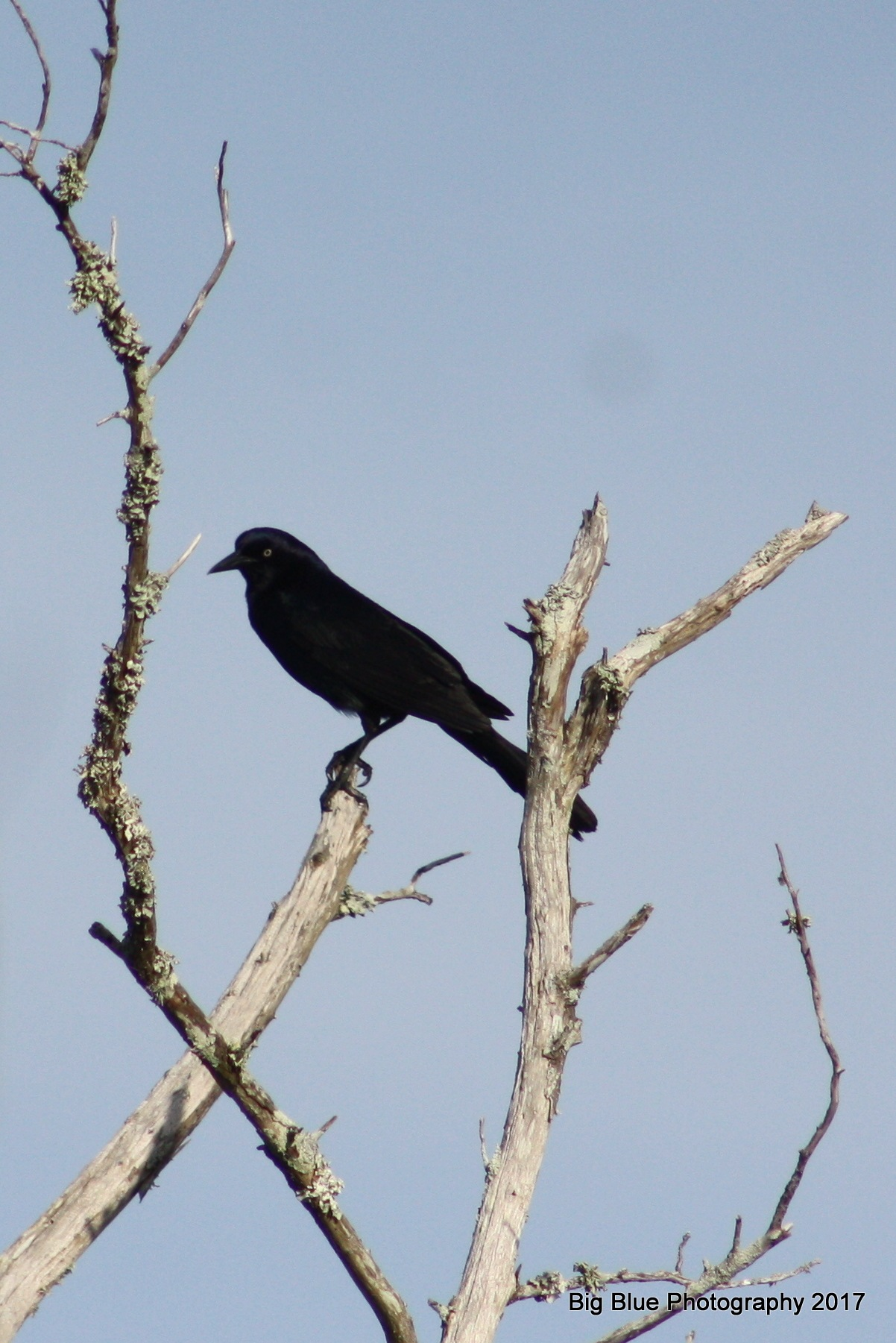Grackle at Fort Macon by Sierra St Francis Photography