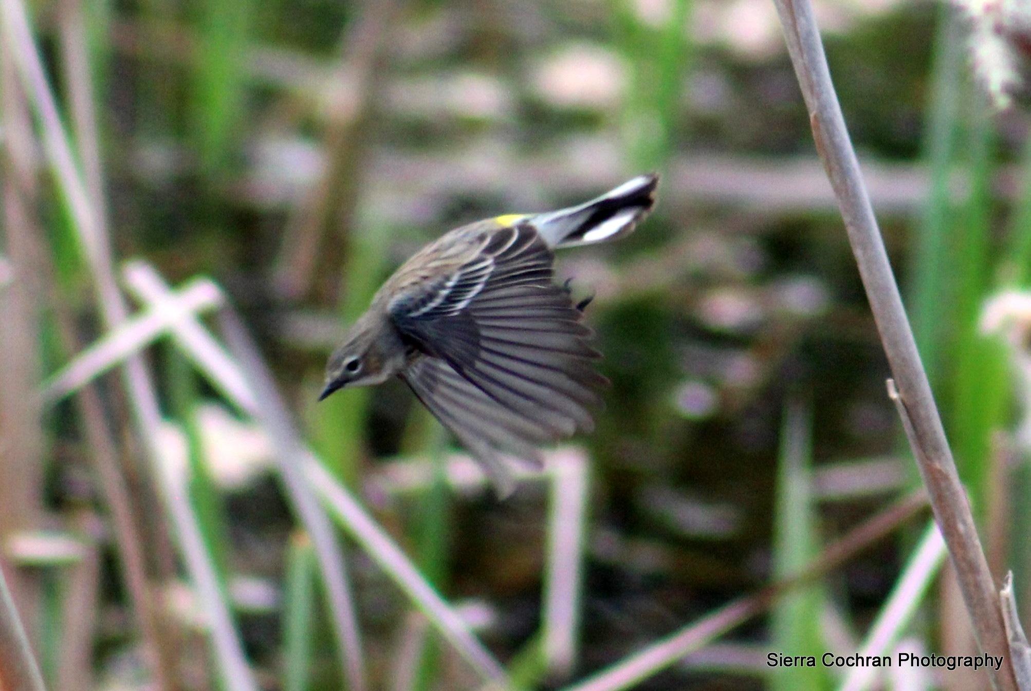 Male Warbler in flight by Sierra St Francis Photography