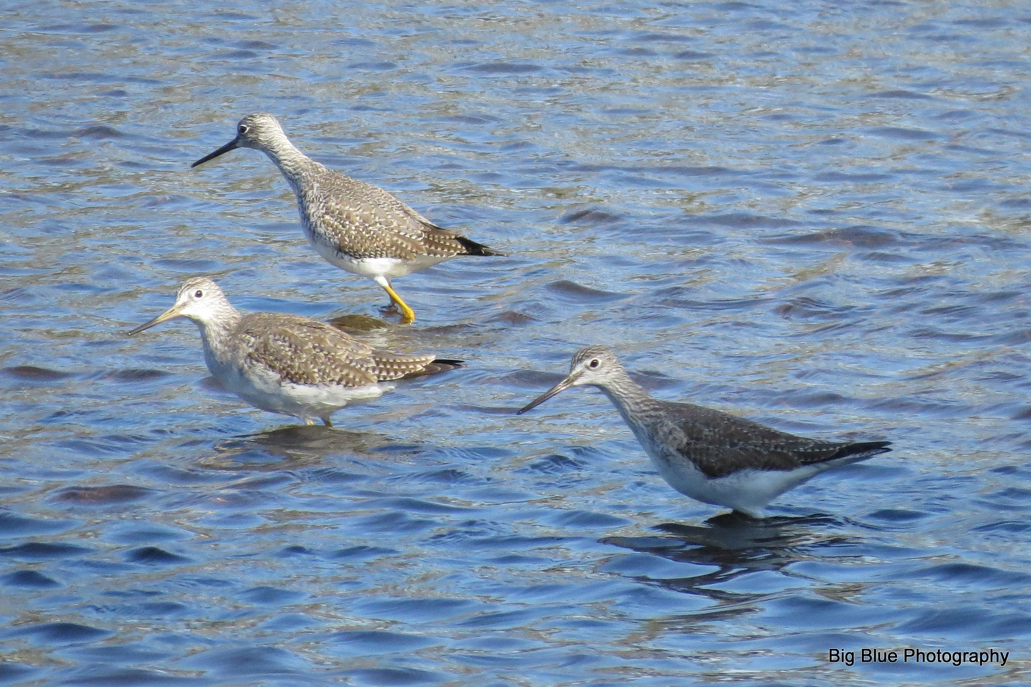 Trio of Lesser Yellowlegs by Sierra St Francis Photography