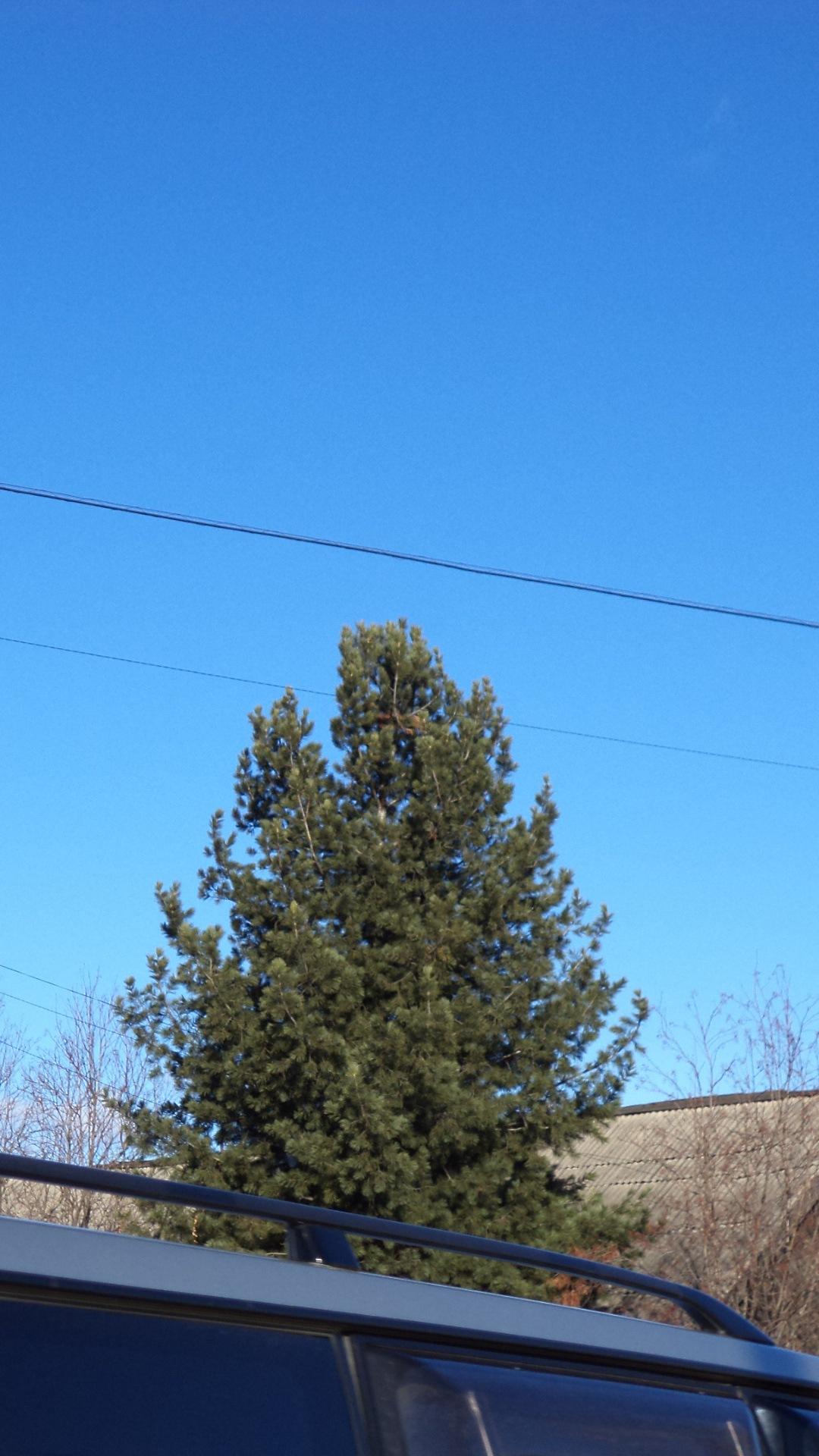 кедры в якутском Алдане прямо у домов! by Anzhelika Struchkova