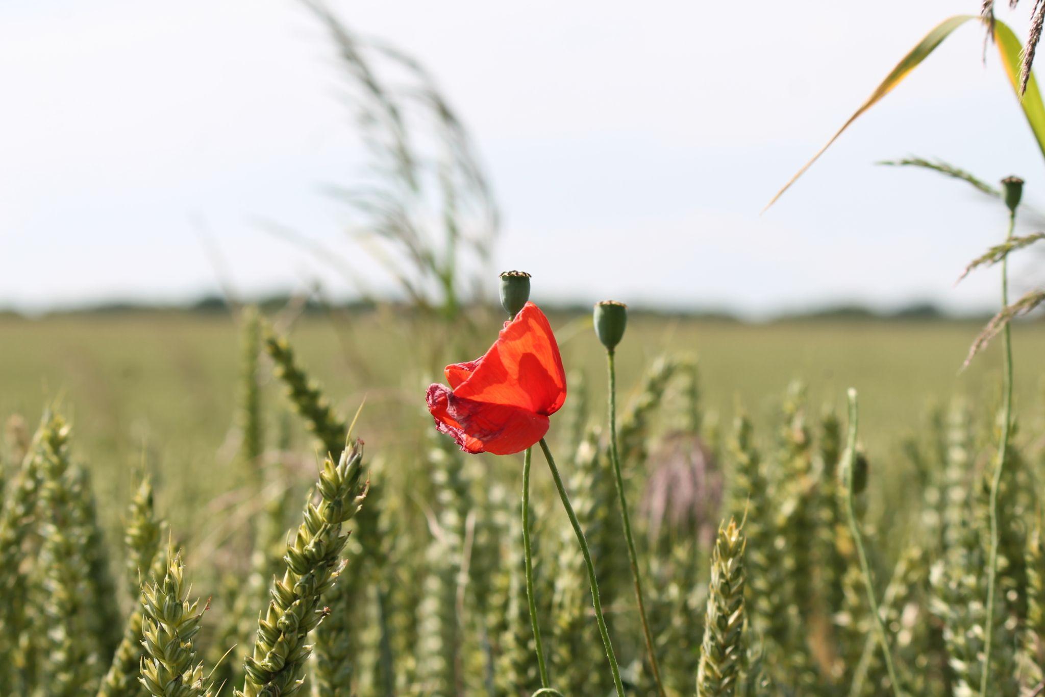 Coquelicot au bord du champ de blé by Jean-francois Crébois