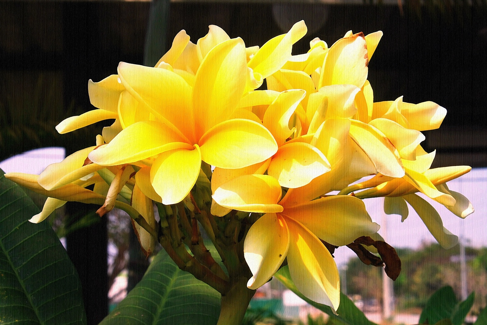 Photo in Nature #yellow flowers #blooming flowers #lampang #travel