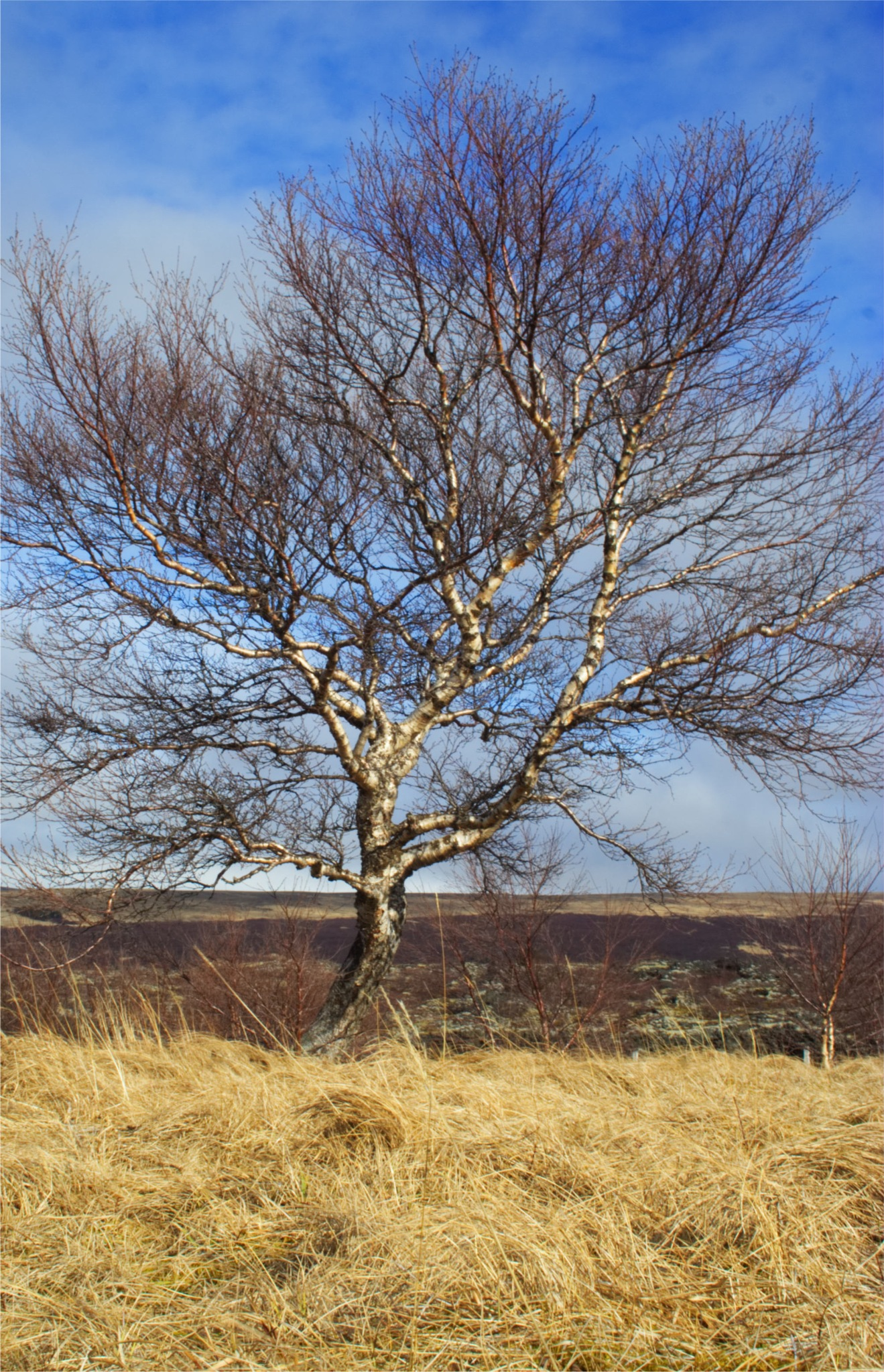 Our Icelandic independence as a tree by Dadi Gudbjornsson