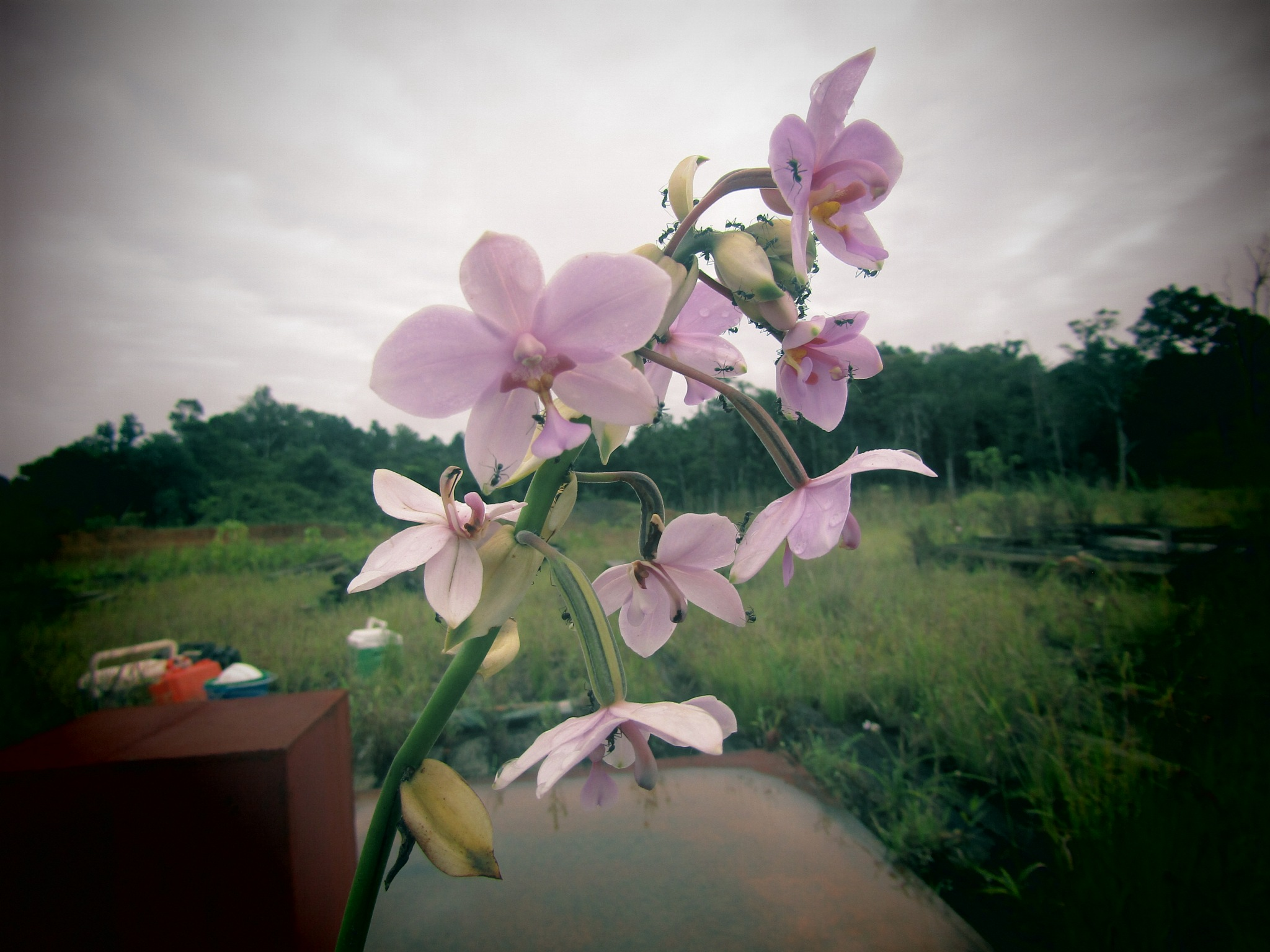 Ground Orchid by Ghee_Anas