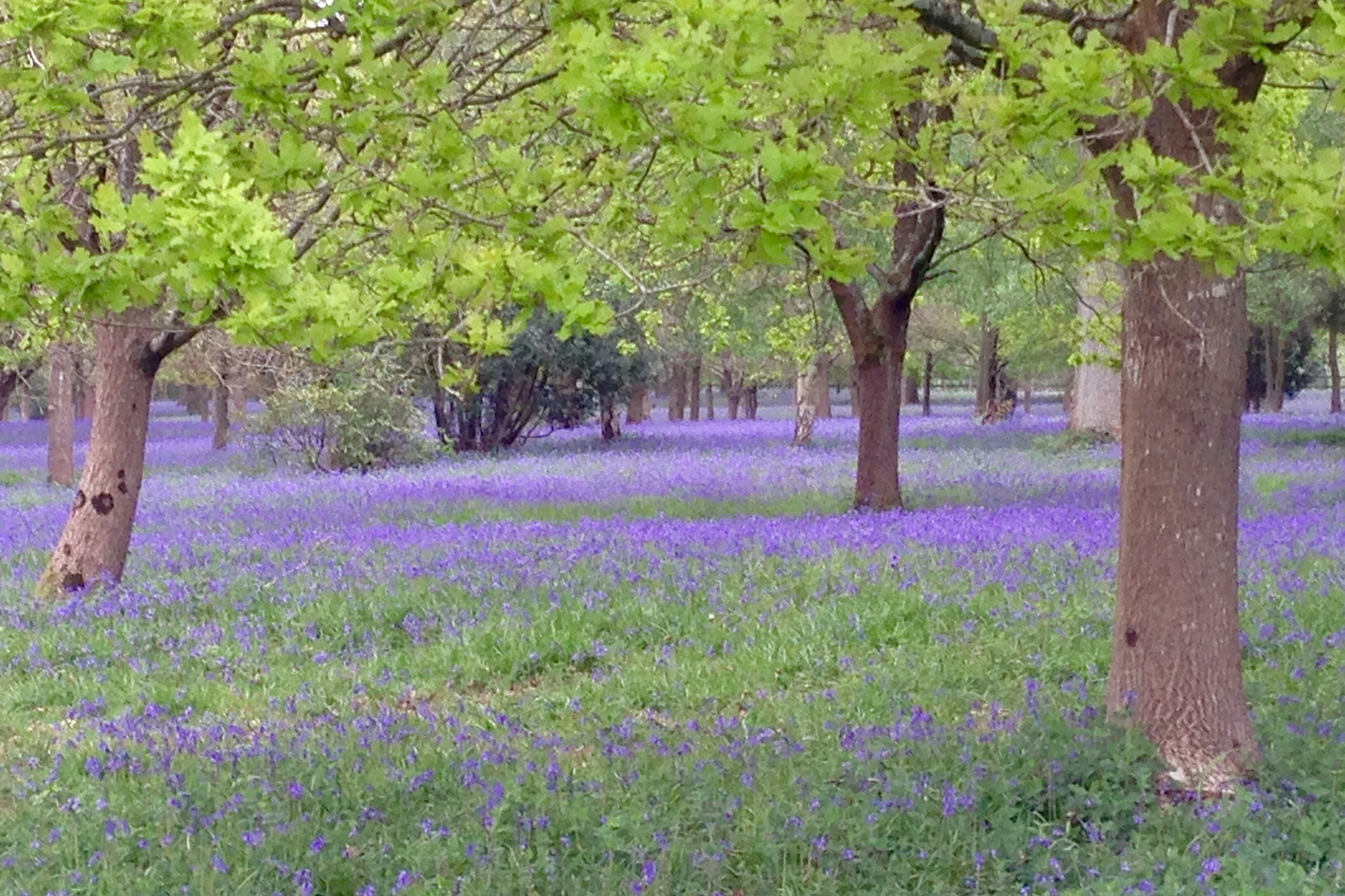 Bluebells..oh to be in England in the Spring by Steven James Homewood
