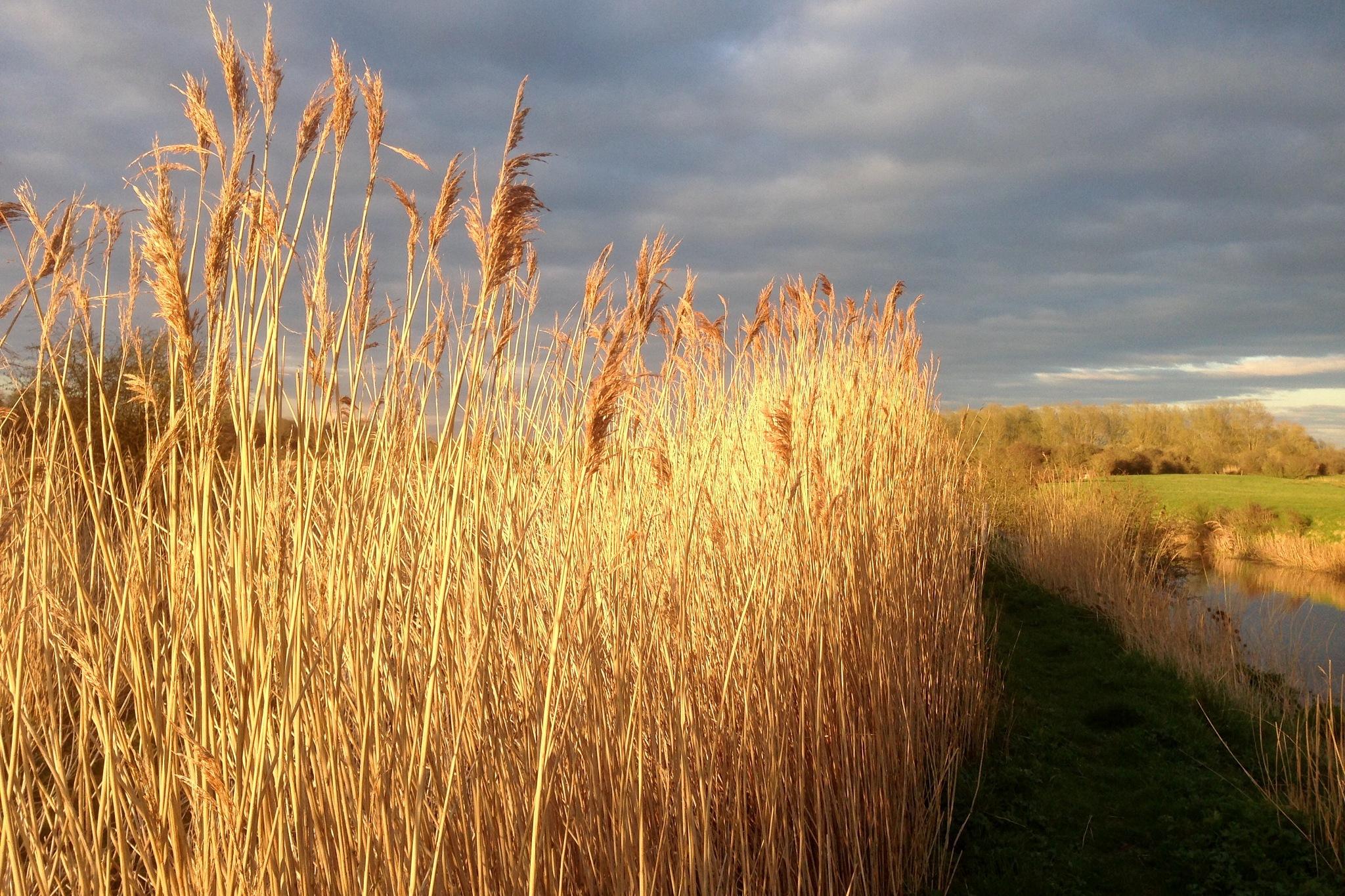 Reeds 2 by Steven James Homewood
